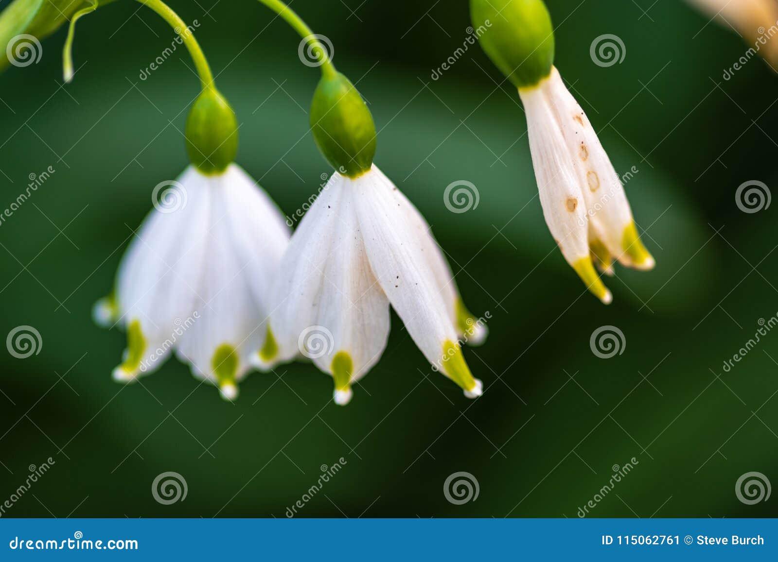 White Bellflower On Green Stock Image Image Of Close 115062761