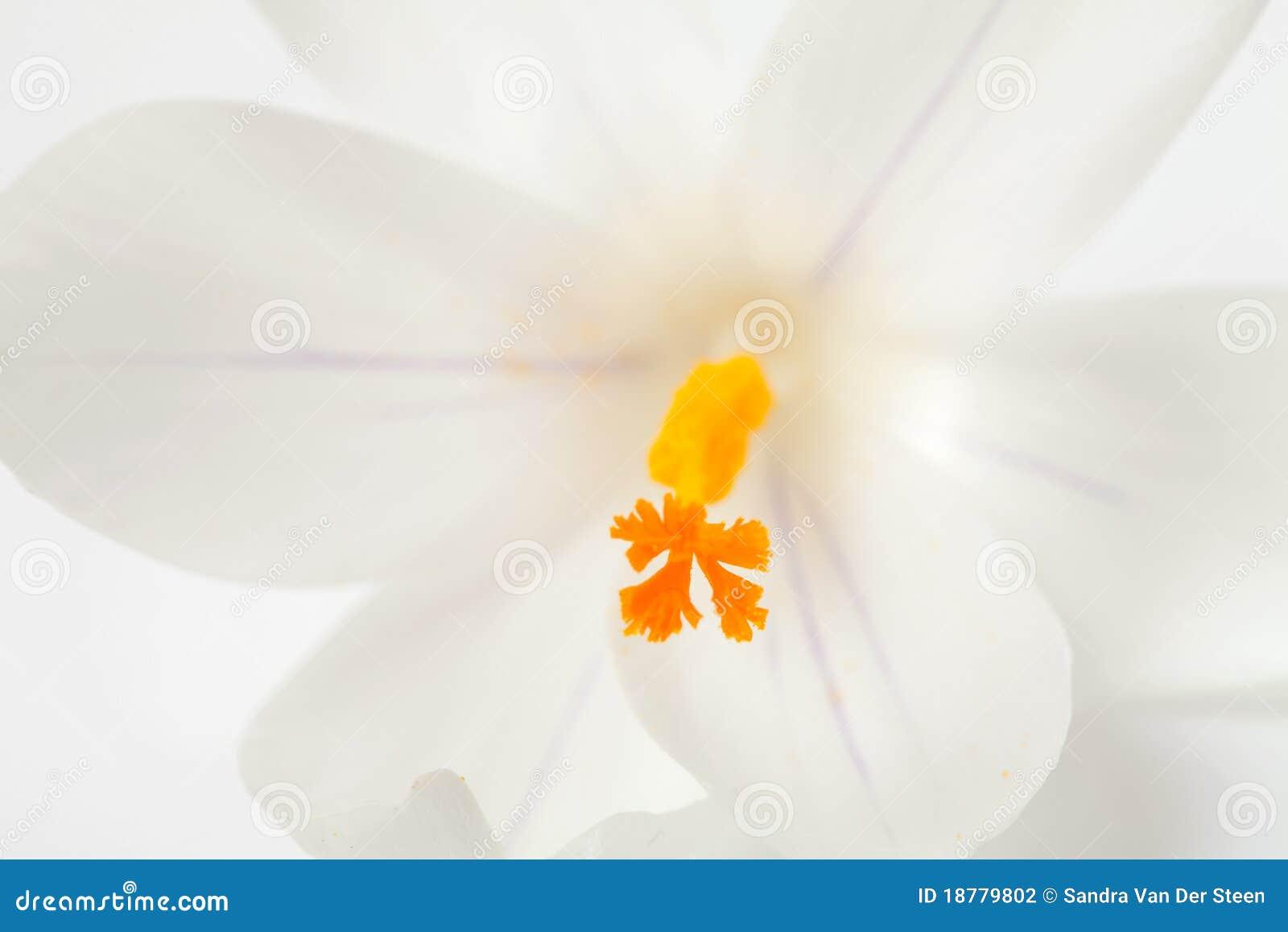 Macro of white Dutch spring crocus flower