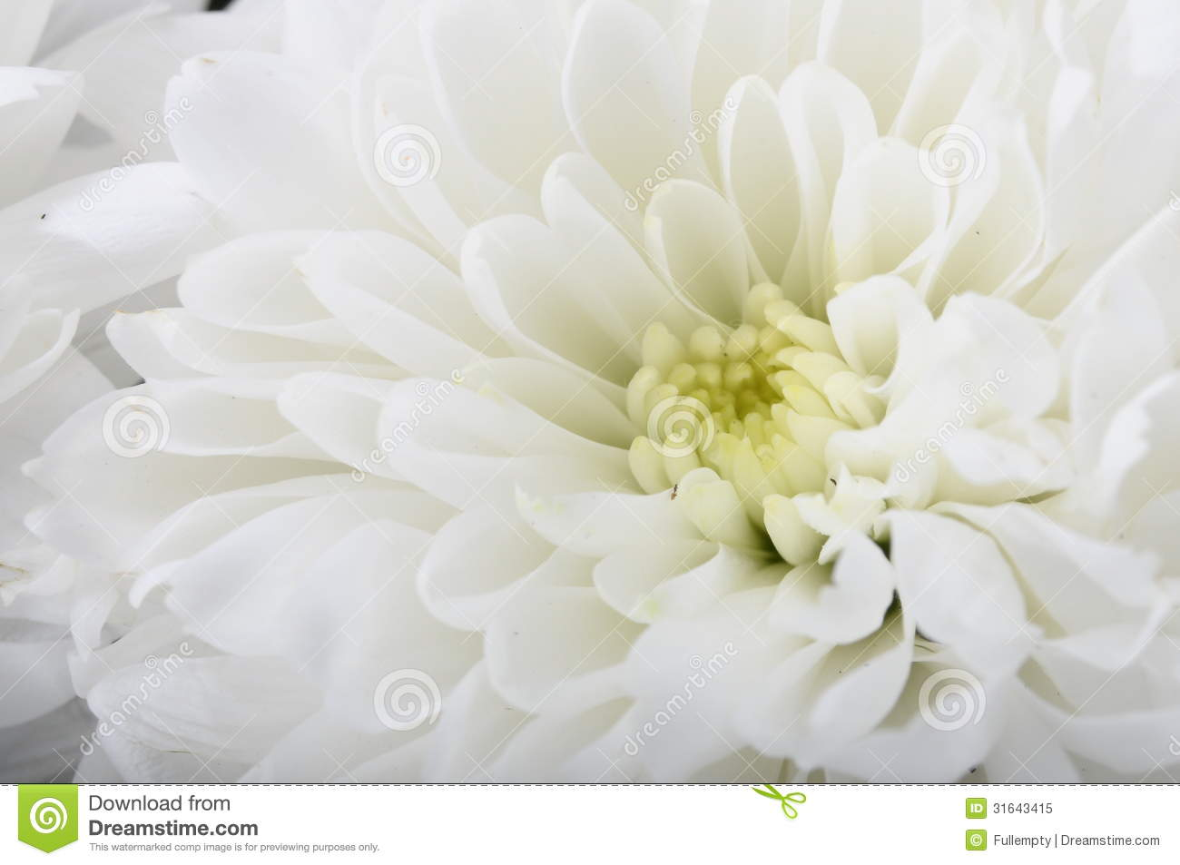 Macro of white flower aster stock image image of close blue 31643415 download comp mightylinksfo