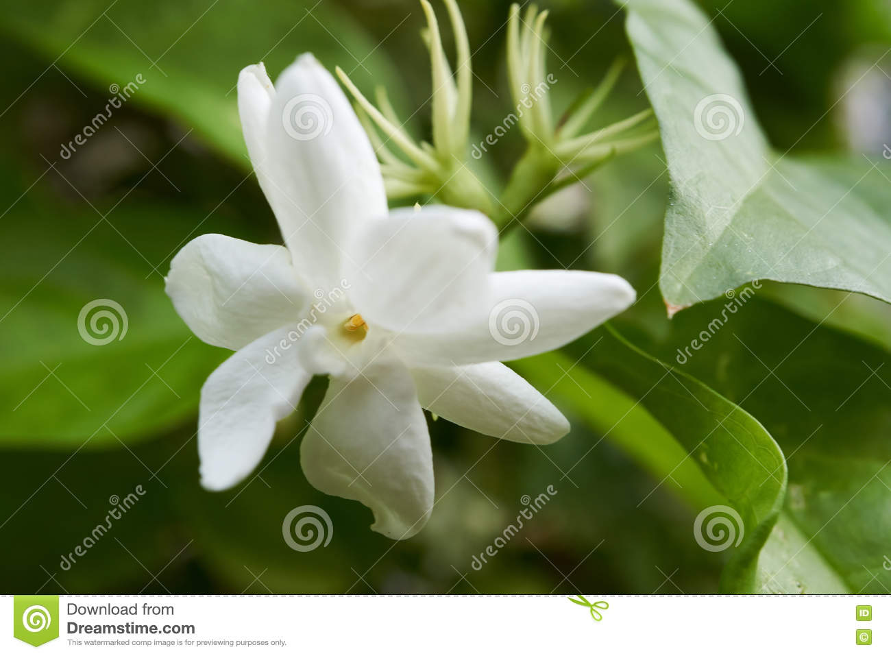 Macro Of A White Jasmine A Beautiful Flower Stock Photo Image Of