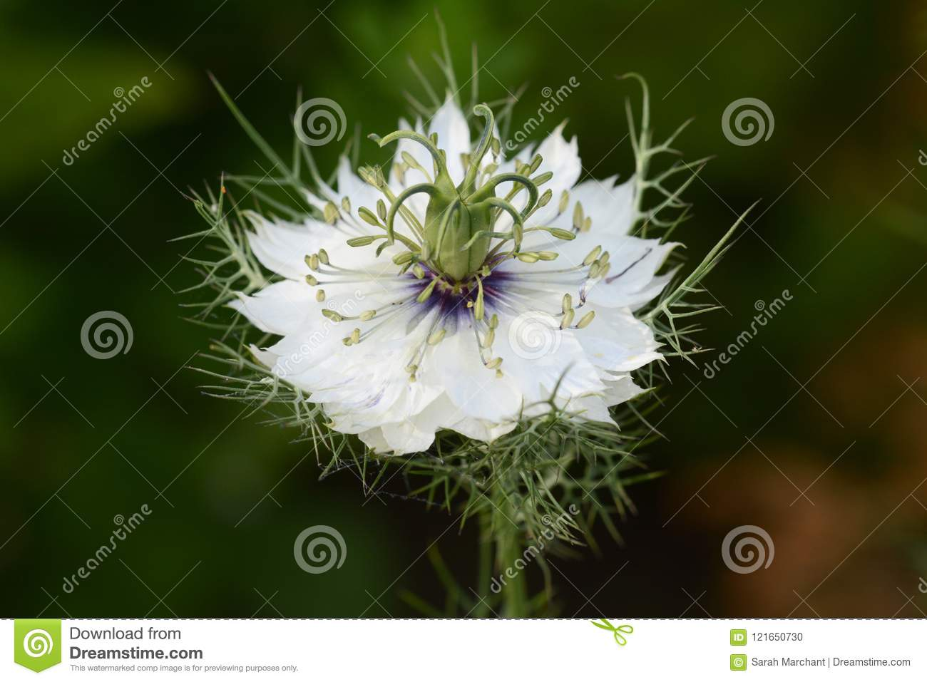 White love in a mist flower macro stock photo image of selective macro of white love in a mist flower surrounded by delicate fronds mightylinksfo