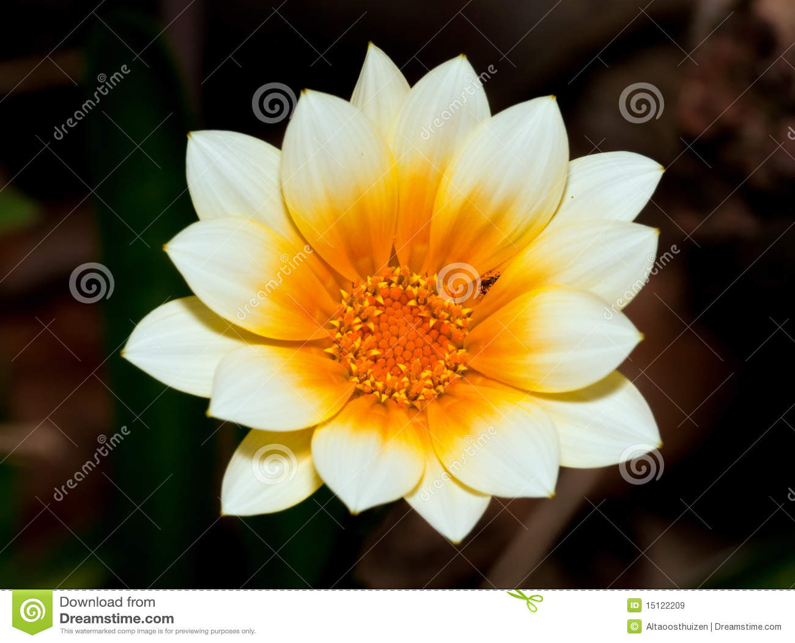 Macro Of White And Orange Flower Stock Image Image Of Bloom