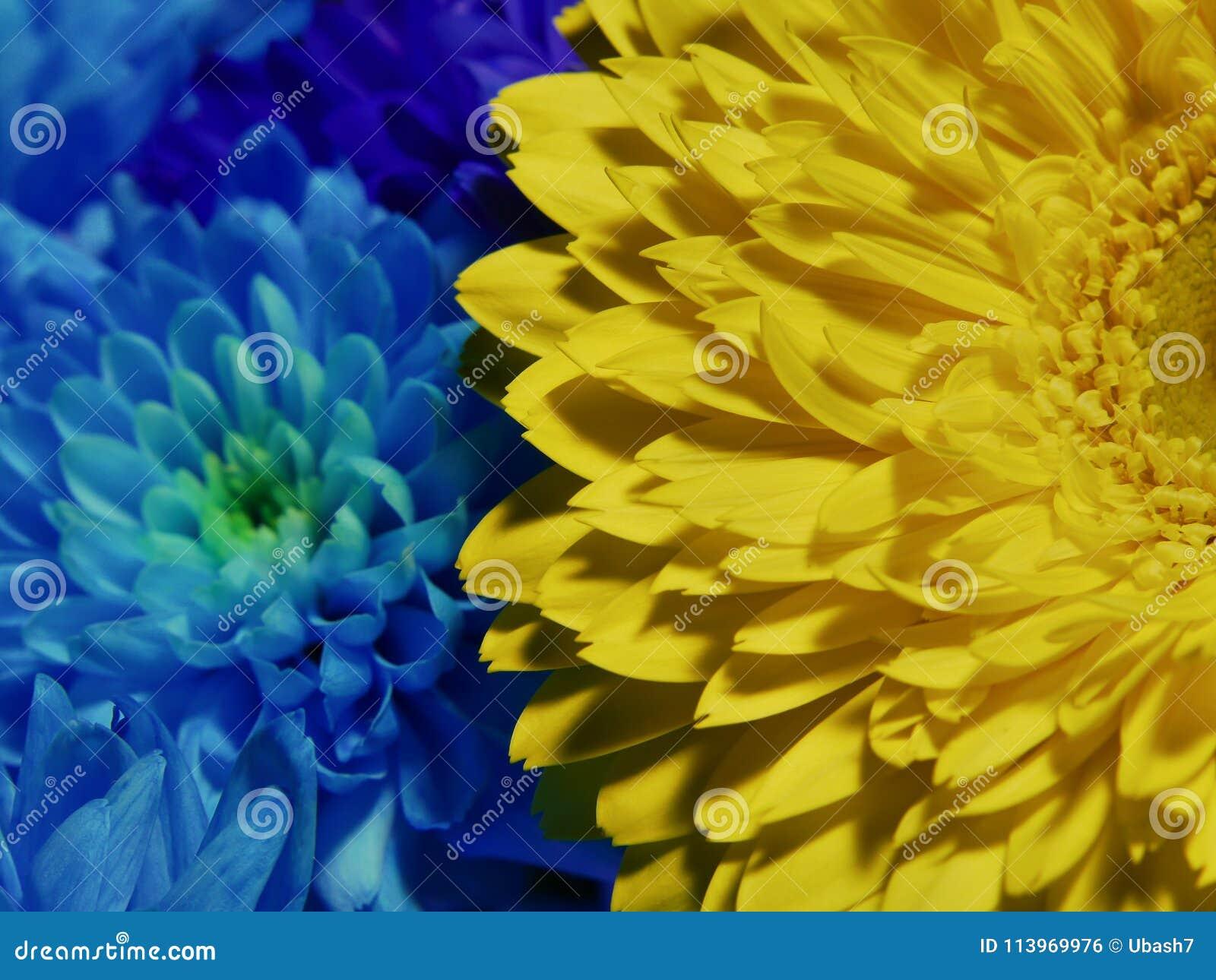 Macro Of Yellow And Blue Flowers Gerbera Near Chrysanthemum Stock
