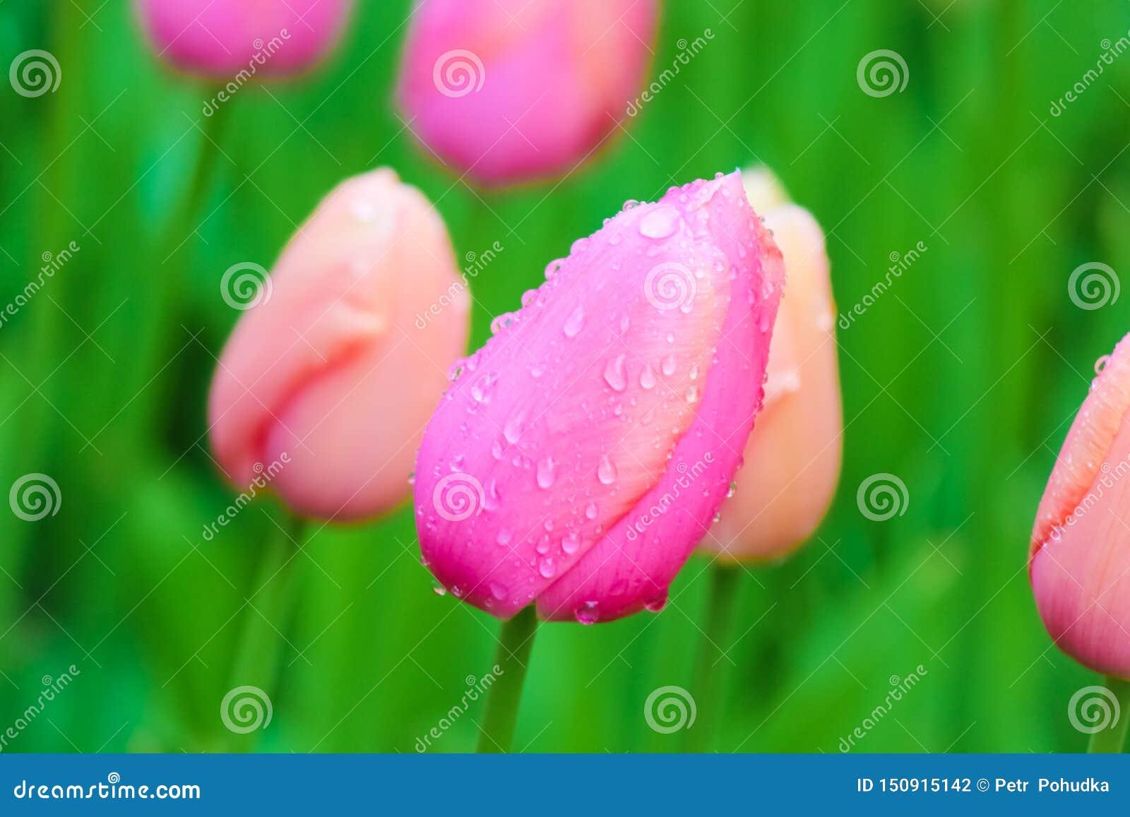Macrobloembeeld van jonge roze tulp met vage groene achtergrond Regendruppels, de dalingen van de ochtenddauw op kleurrijke bloem