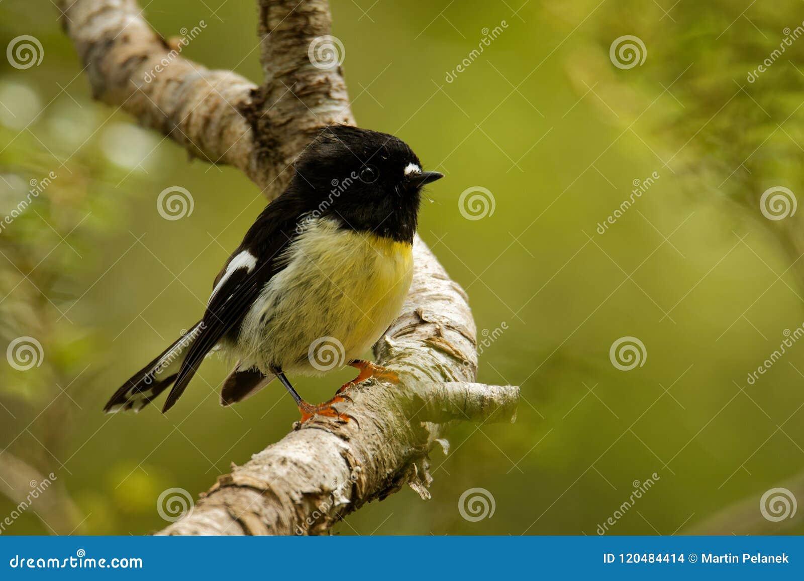 Macrocephala macrocephala Petroica - νότιο νησί Tomtit - miromiro ενδημική συνεδρίαση πουλιών της Νέας Ζηλανδίας δασική στον κλάδ