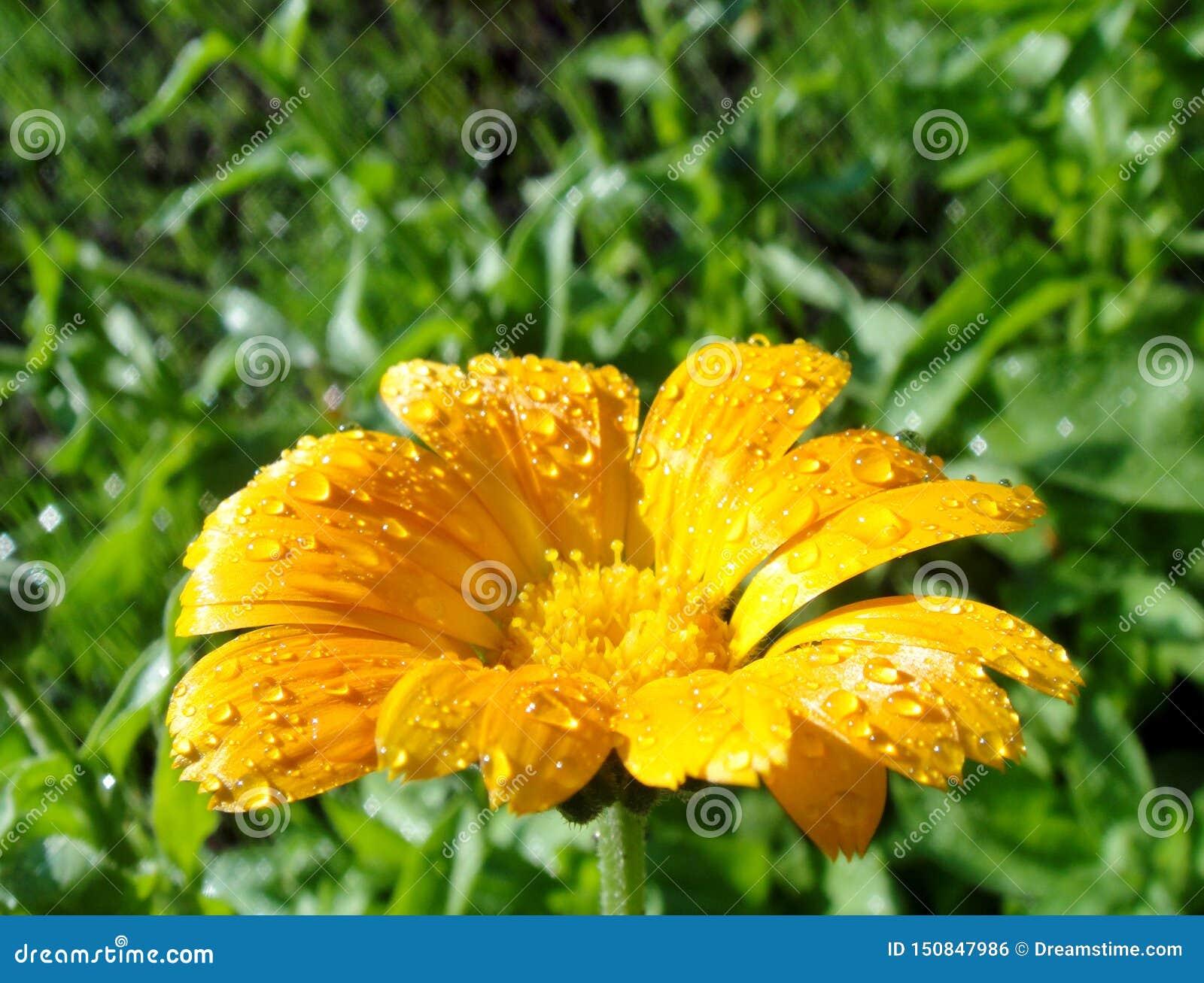 Macrofoto van heldere de zomer gele calendula met dauw