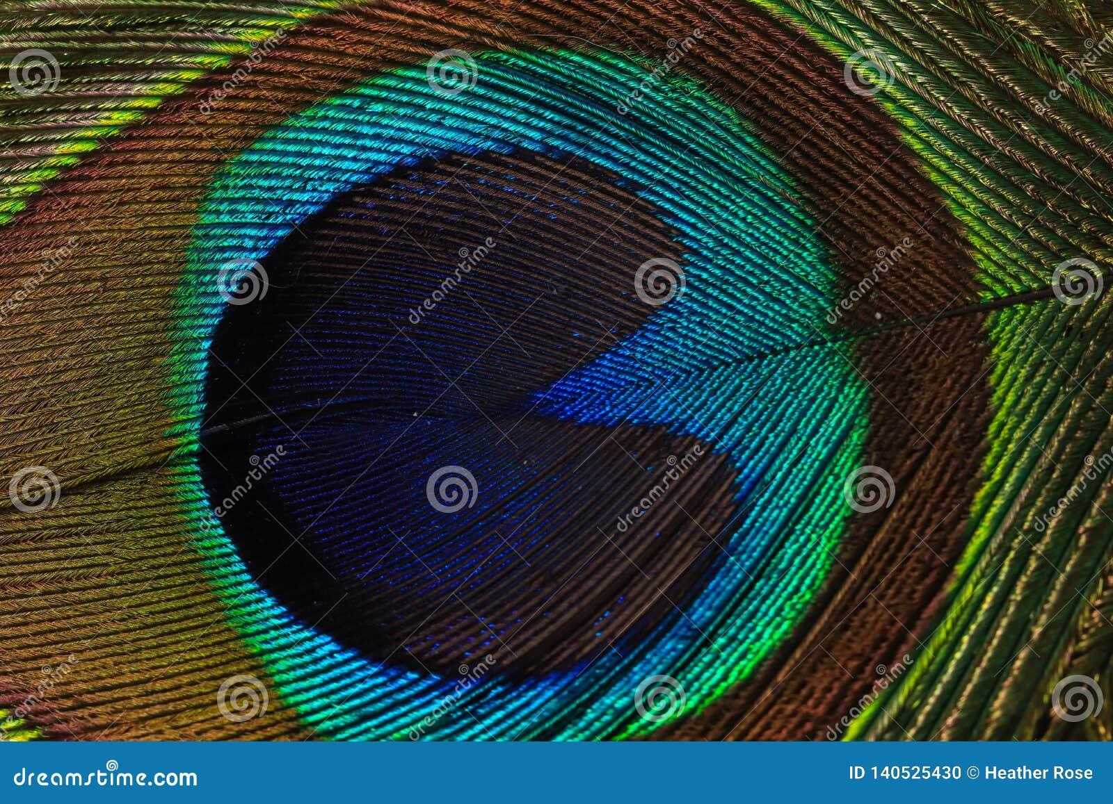 Macrofotografia della piuma del pavone
