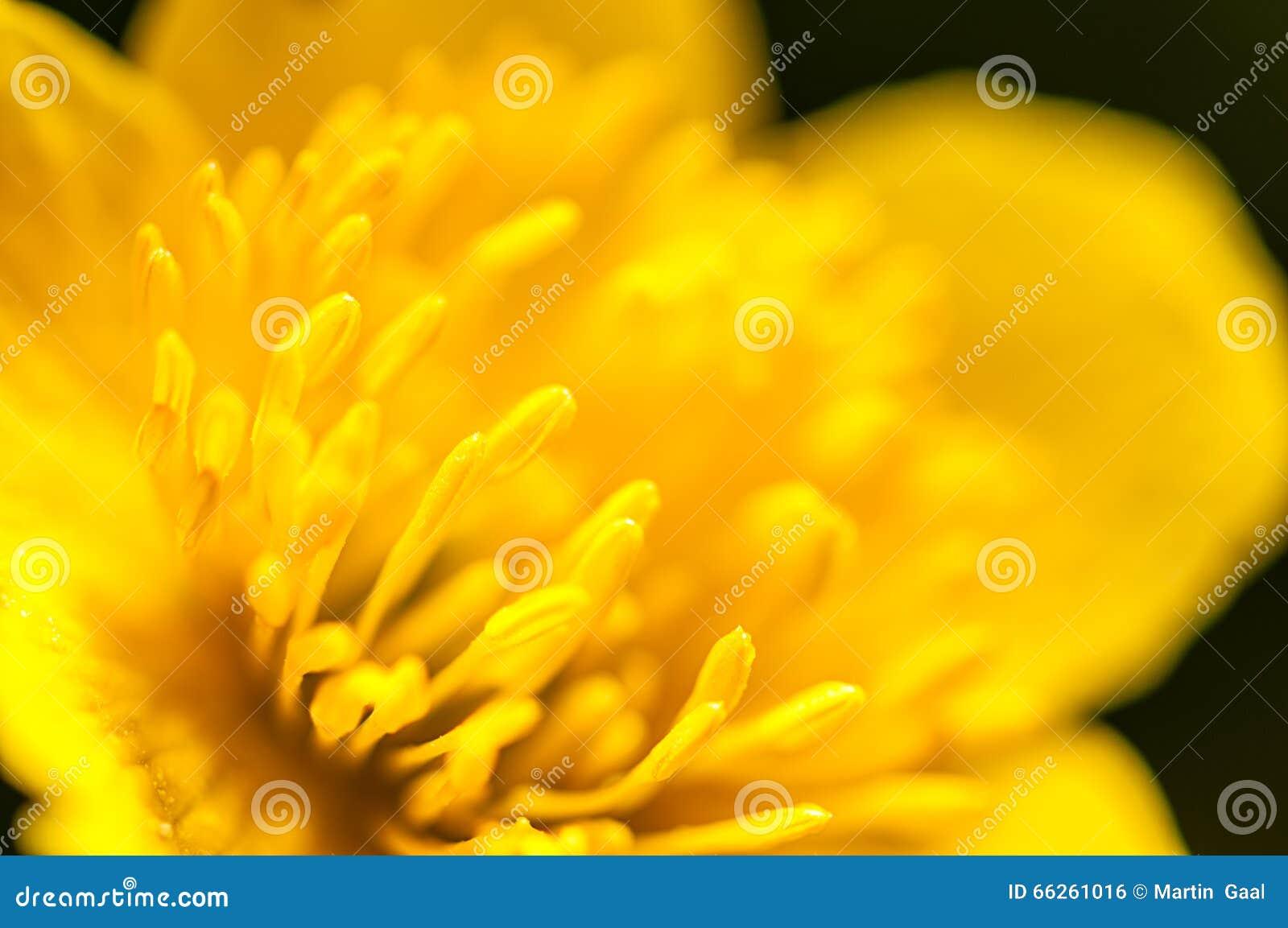 Macrofotografie, gele boterbloemenstampers op groene achtergrond in aard, de achtergrond van de de lentebloem