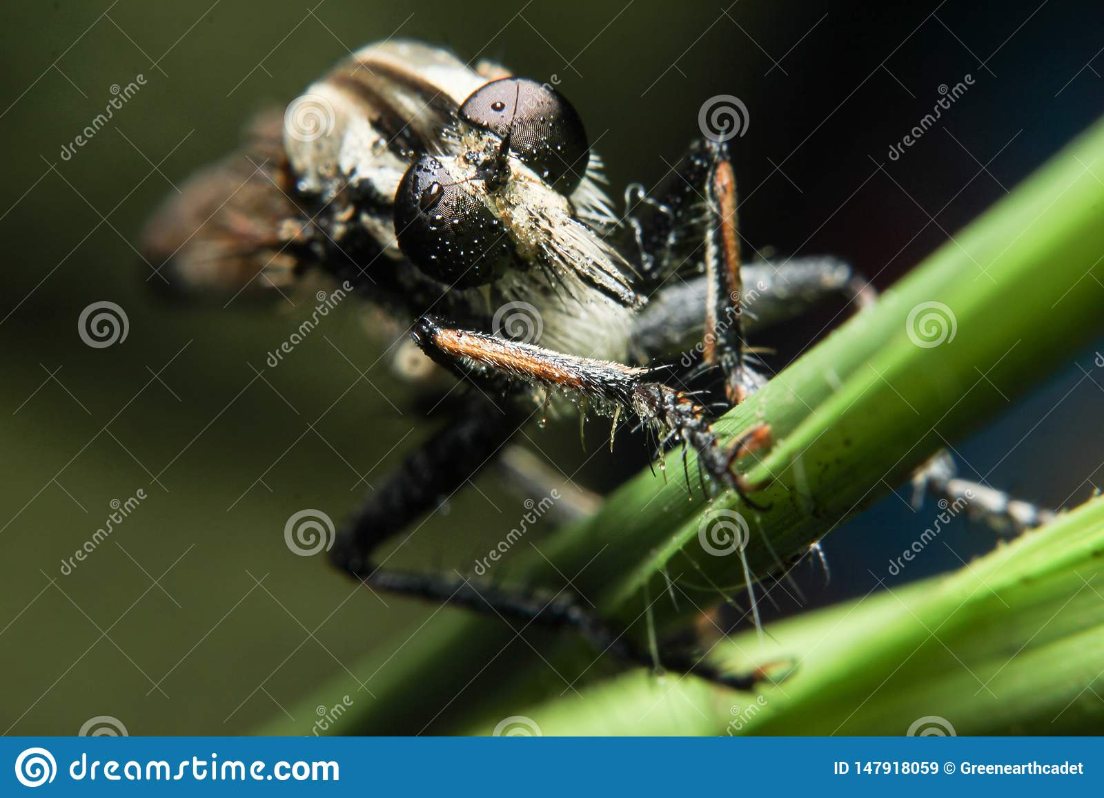 Macrofotografie van Oranje Roversvlieg die een insect jagen Wild aardroofdier op het groene die blad op donkere achtergrond wordt