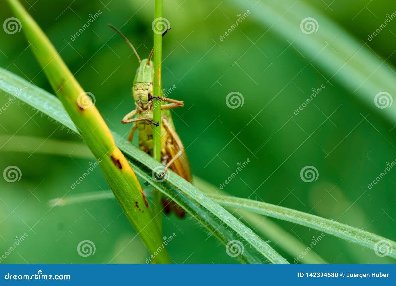 Macrofotografie van Sprinkhaan op blad op het gebied, Sprinkhaan een installatie-etend insect met lange achterste benen die voor