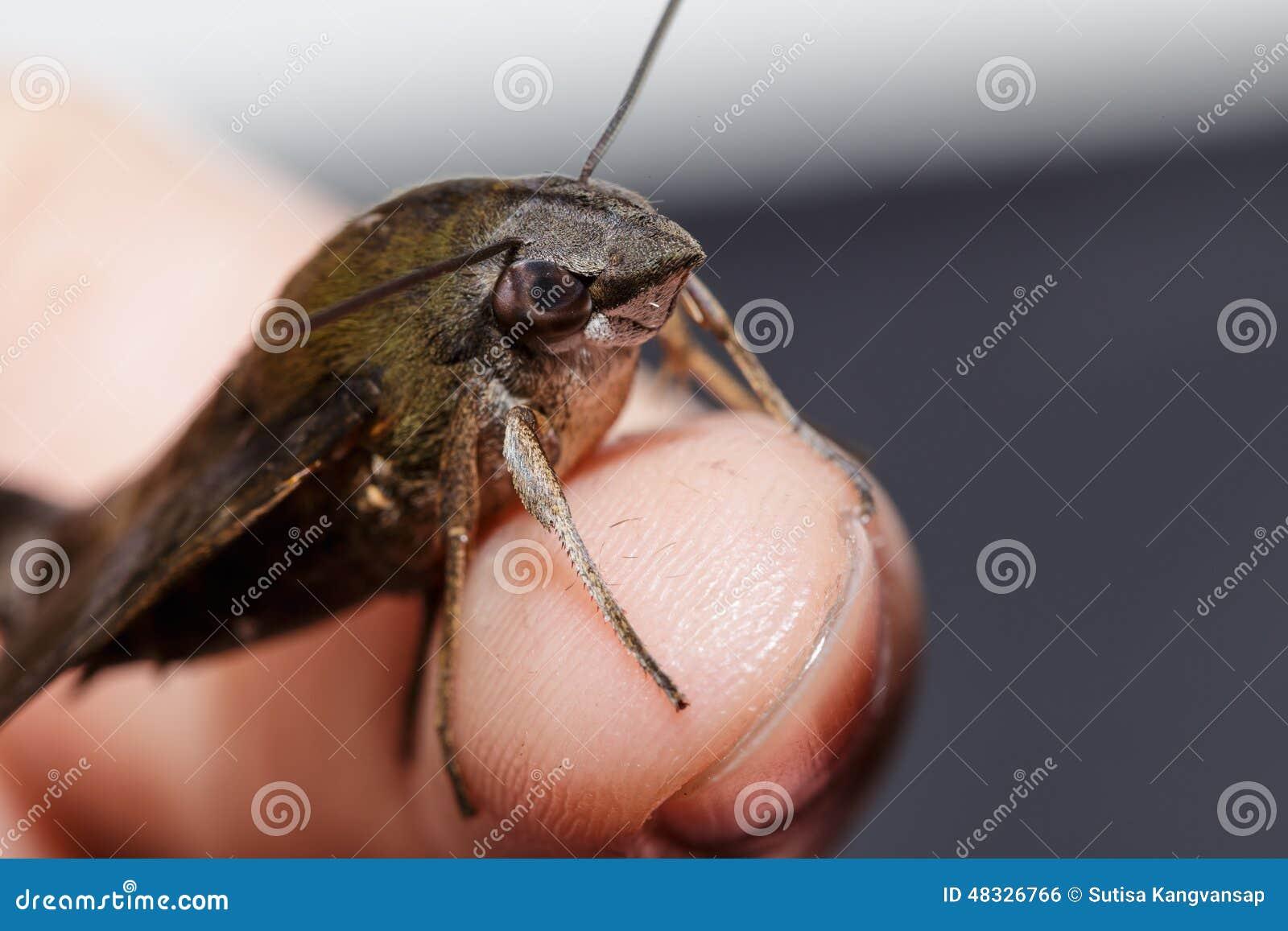 macroglossum在手指的sitiene飞蛾