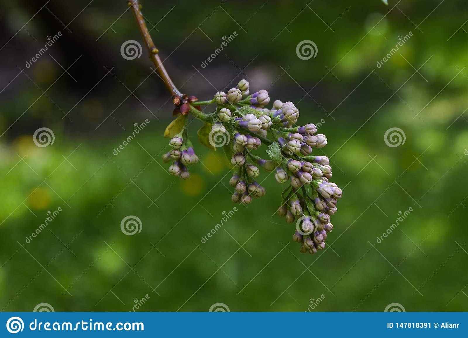 Macrophoto of lilac branch with purple buds