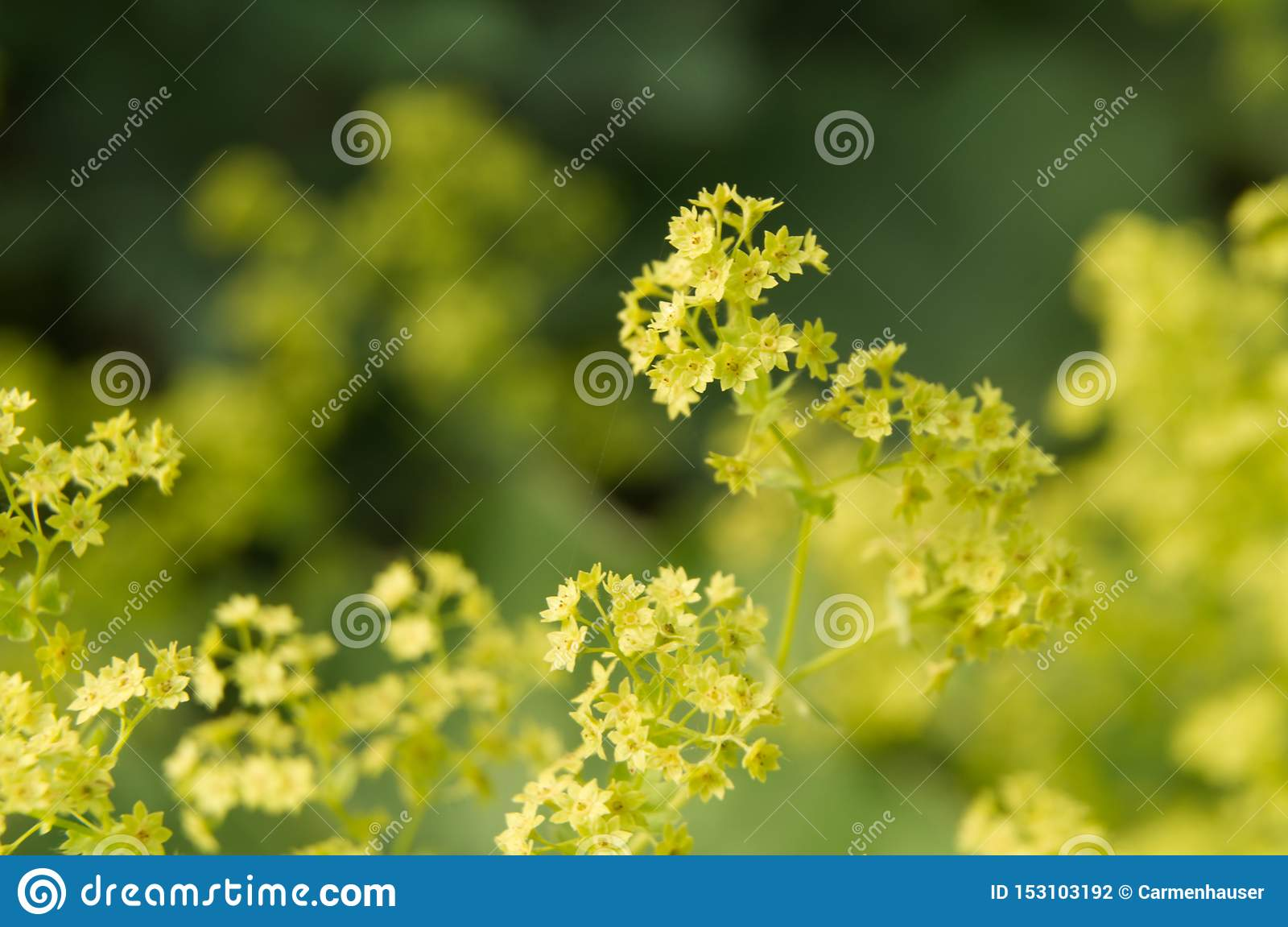 Bright green flowers of a lady s mantle bush