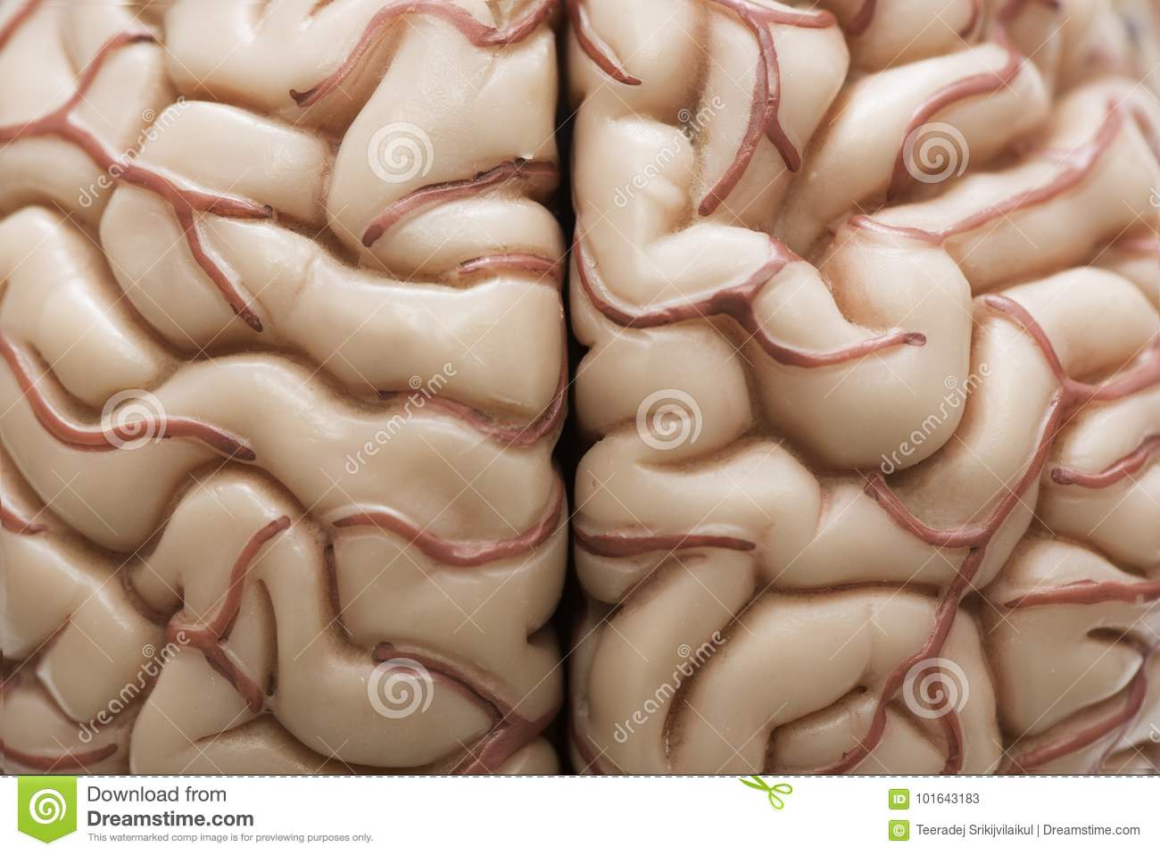 Human brain model stock image. Image of biology, anatomy - 101643183