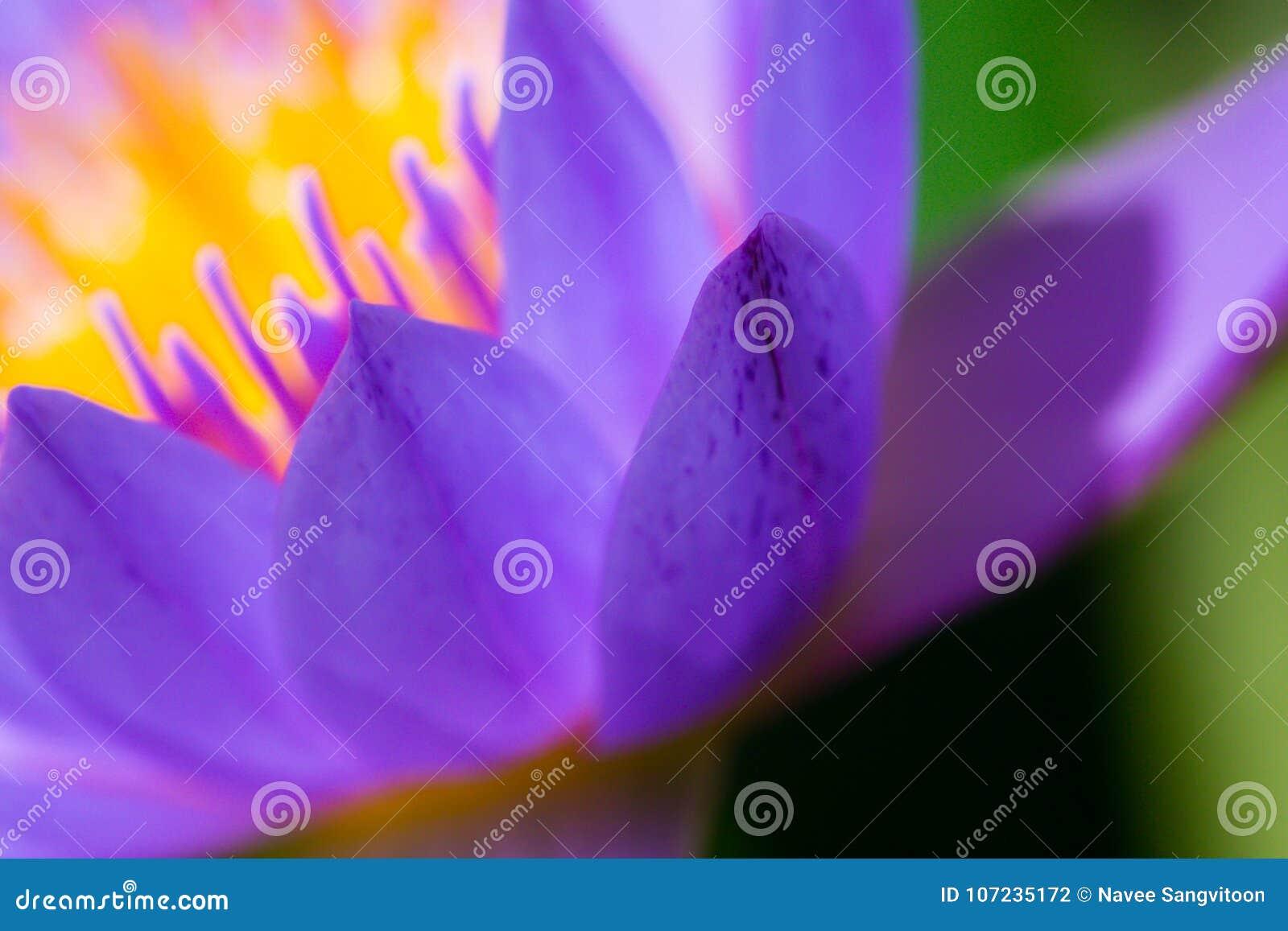 Macrostuifmeel van purpere lotusbloem