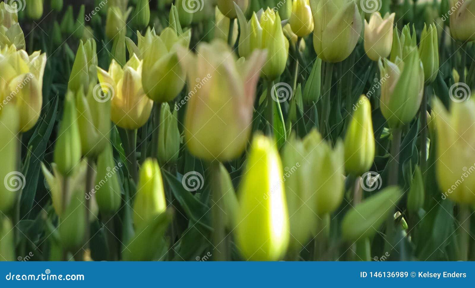 Macroweergeven van Gesloten Gele Tulpen
