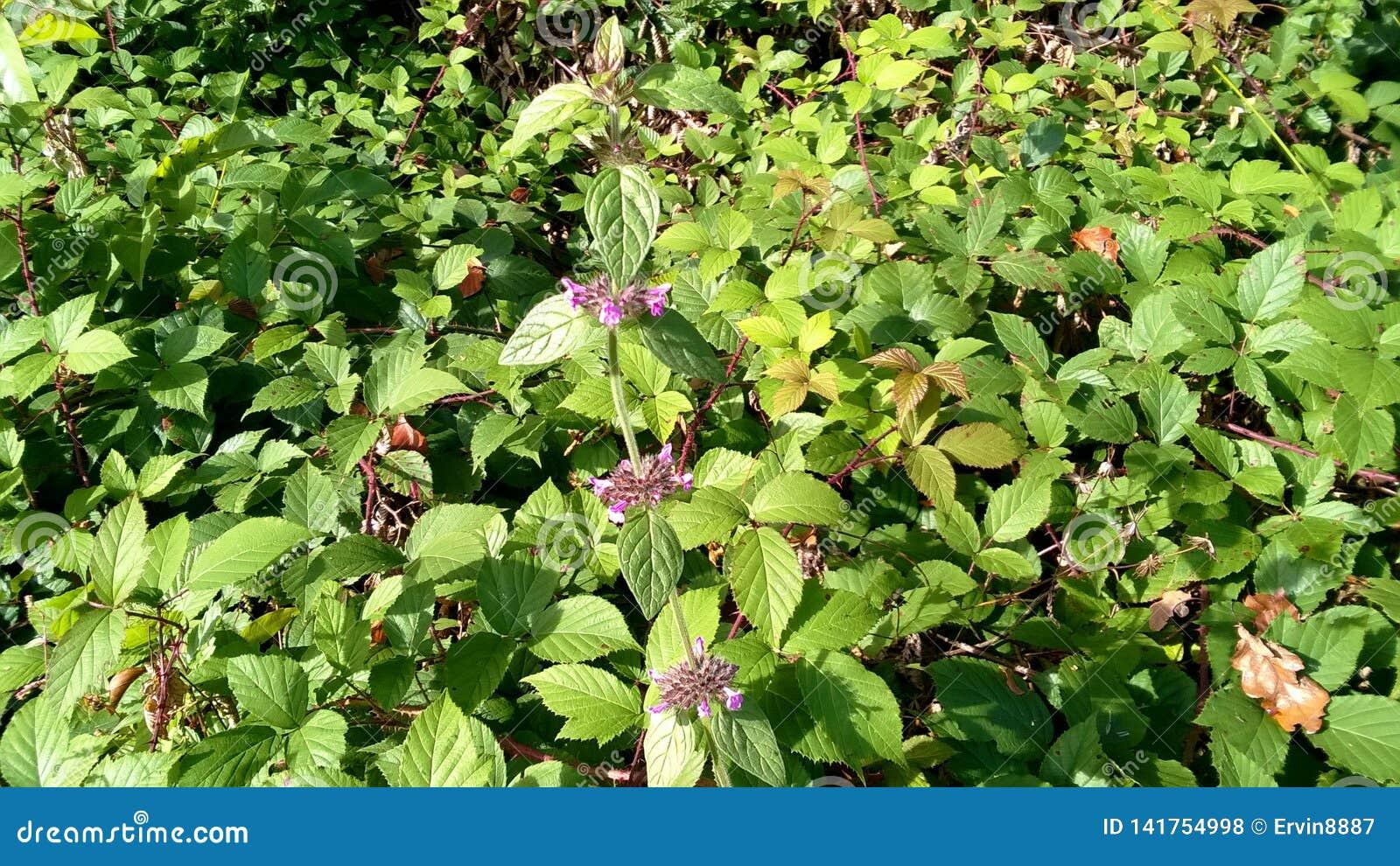 Maculatum lamium ложной крапивы с характерными розовыми цветками