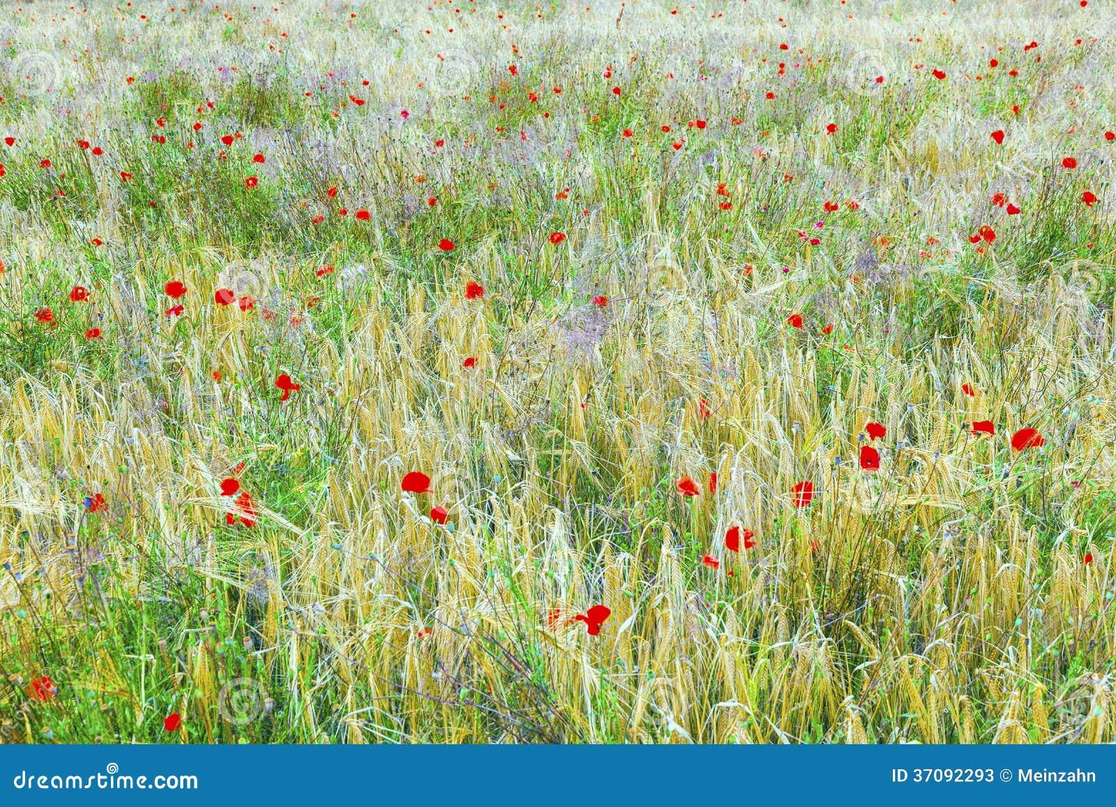 Download Maczek Kwitnie Z Ble Niebem Obraz Stock - Obraz złożonej z krajobraz, harmonia: 37092293