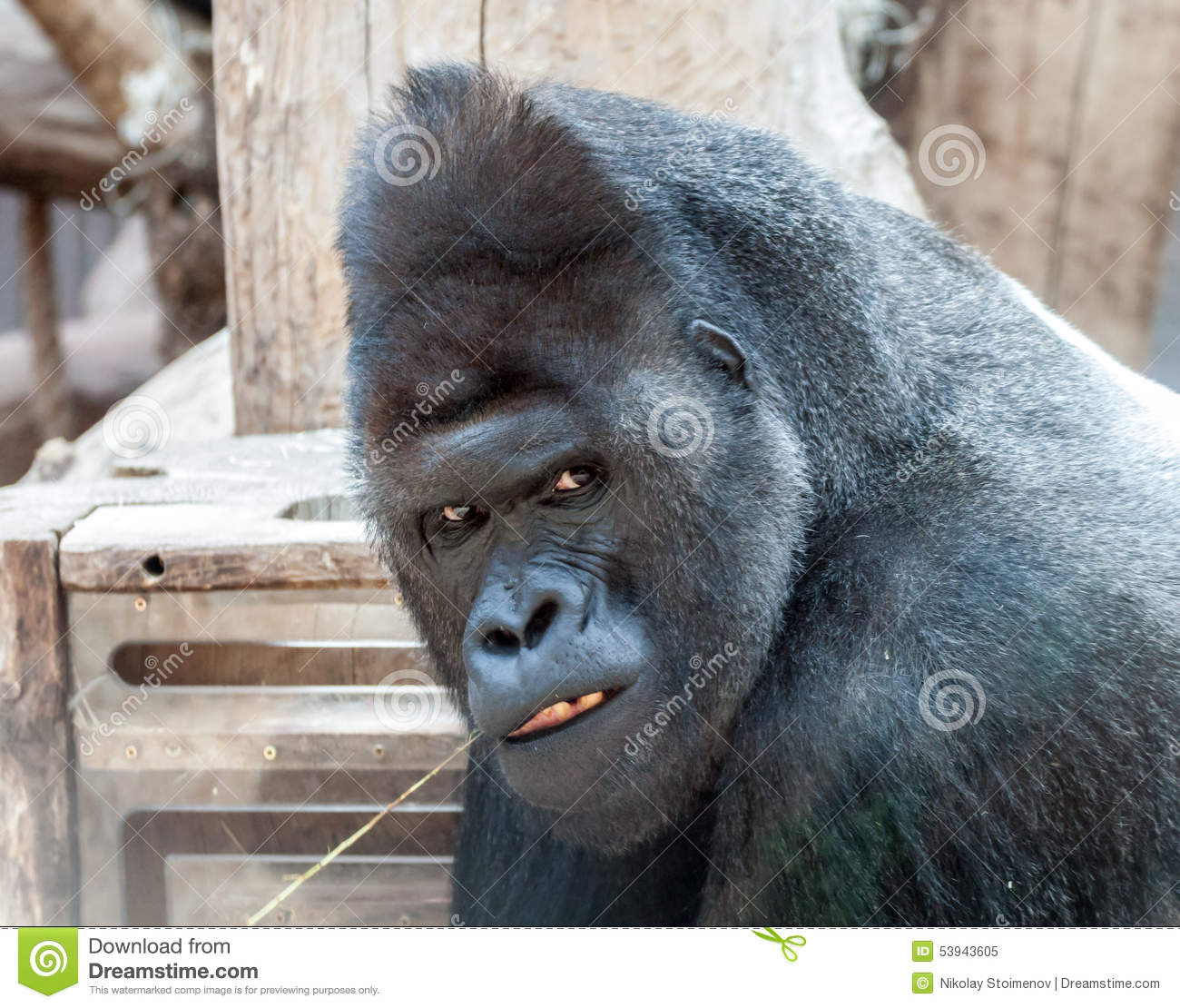 Mad gorilla stock image. Image of head, facial, huge ... - photo#45