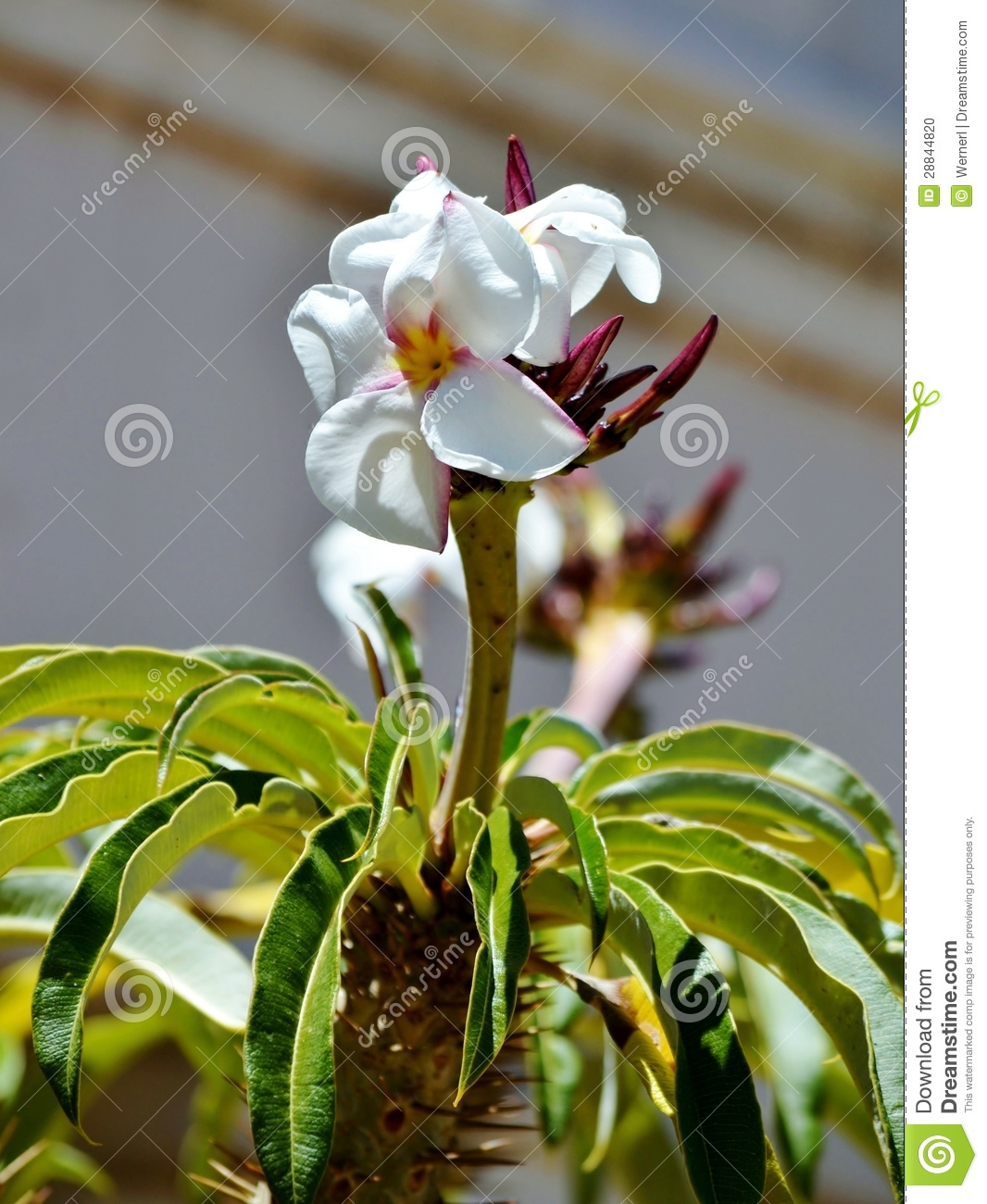 Madagascar Palm Tree Flower Stock Photo - Image: 28844820
