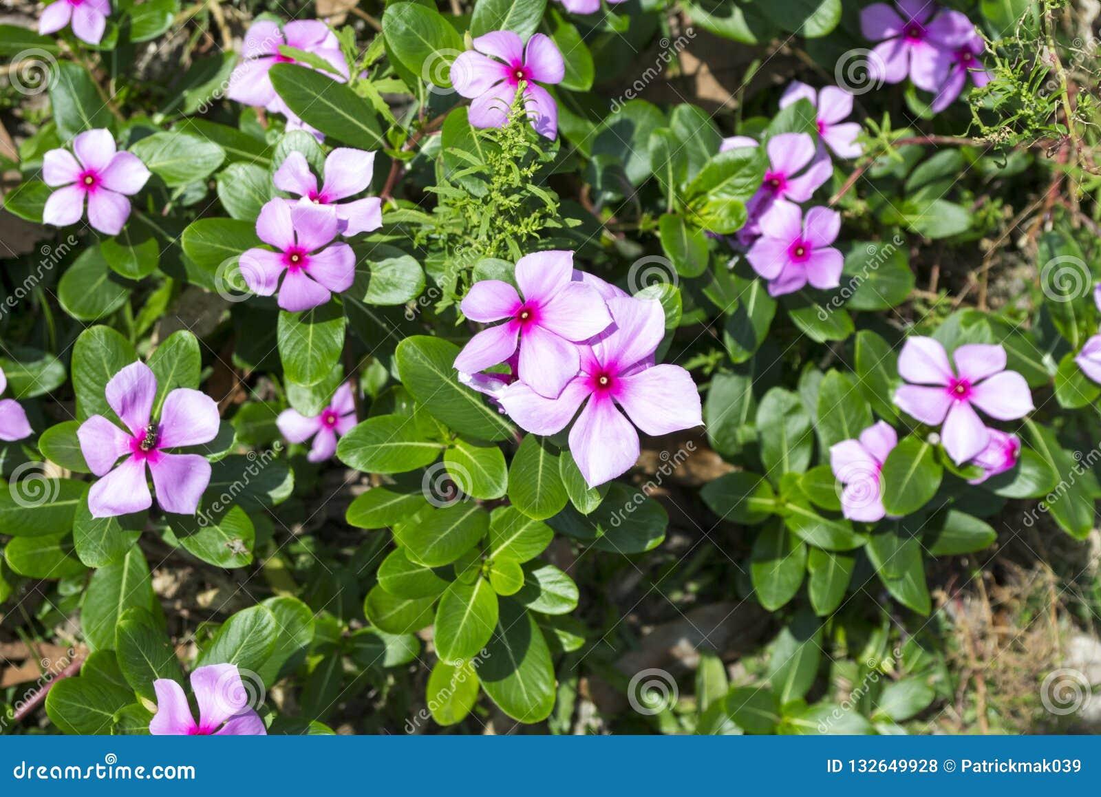 Madagascar Periwinkle Flowers Stock Photo - Image of ...