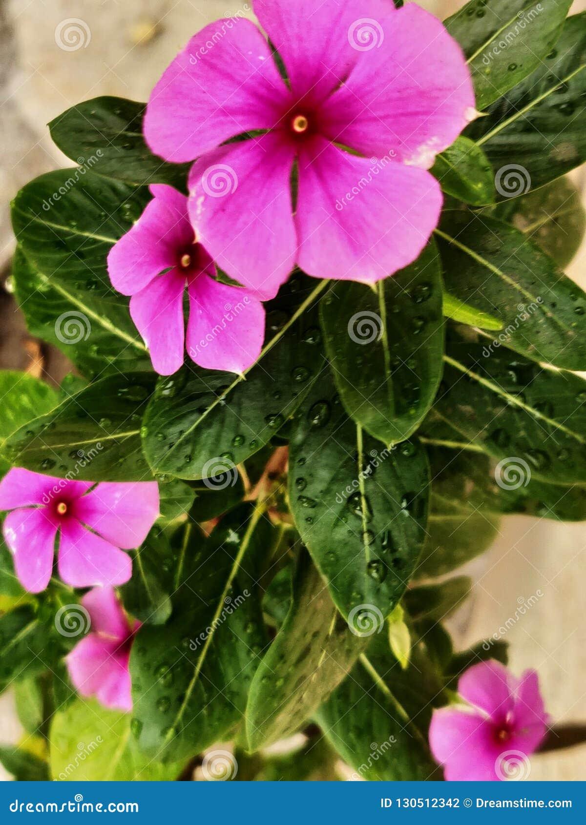 Madagascar Periwinkle Plant With Flowers Stock Photo - Image ...