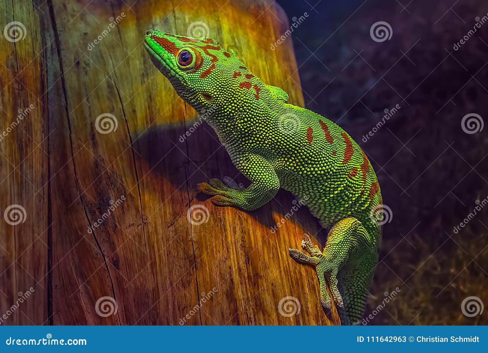 Madagascariensis de madagascariensis de Phelsuma de gecko de jour du Madagascar