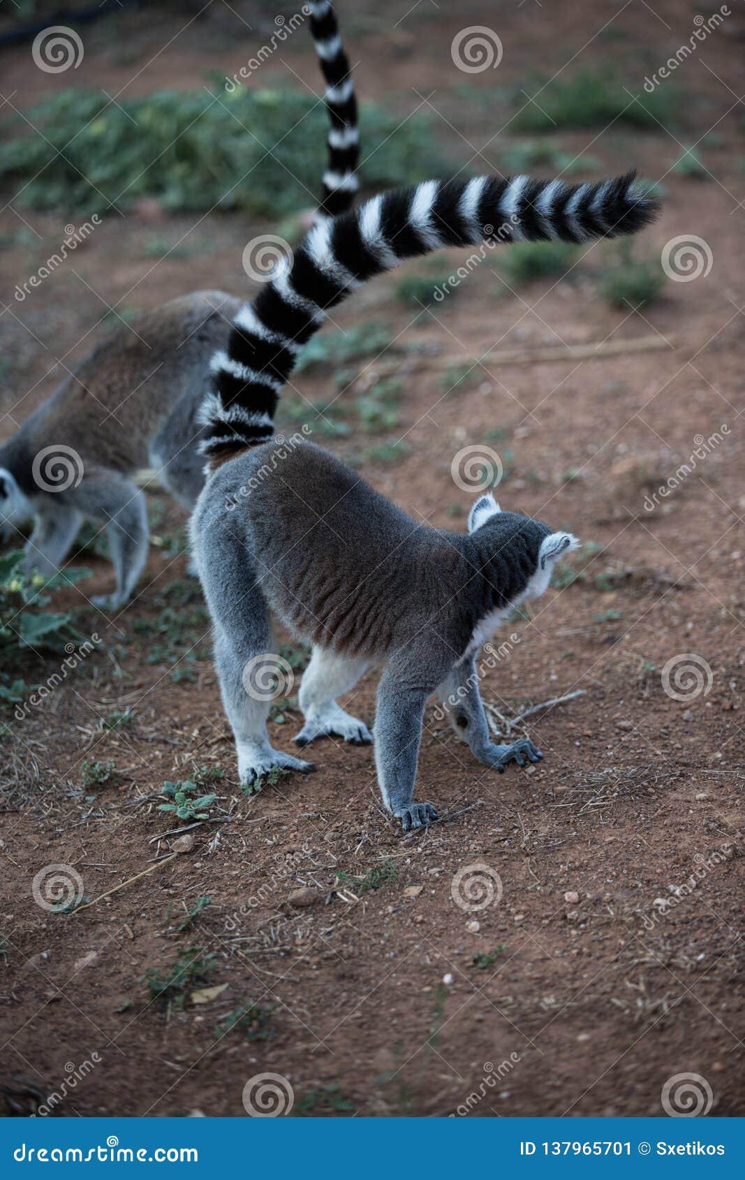 Madagaskar-Maki