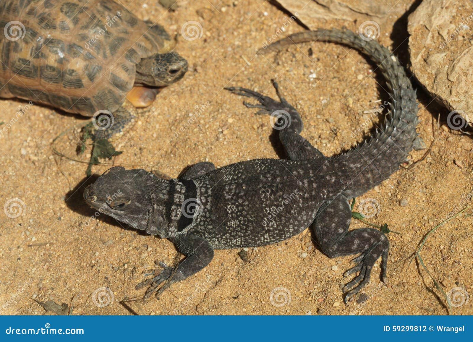 Madagaskar stachelig-band Leguan (Oplurus-cuvieri), alias die Madagaskar ergatterte Eidechse an