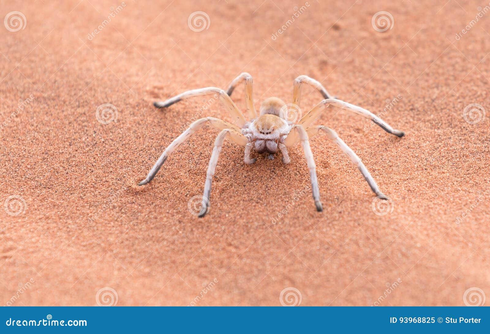 Madame blanche de danse Spider, Namibie, Afrique