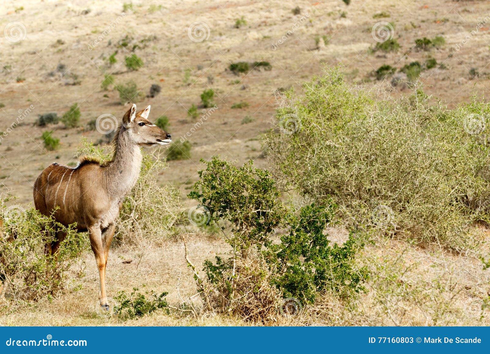 Madame de Kudu recherchant l amour - strepsiceros de Tragelaphus