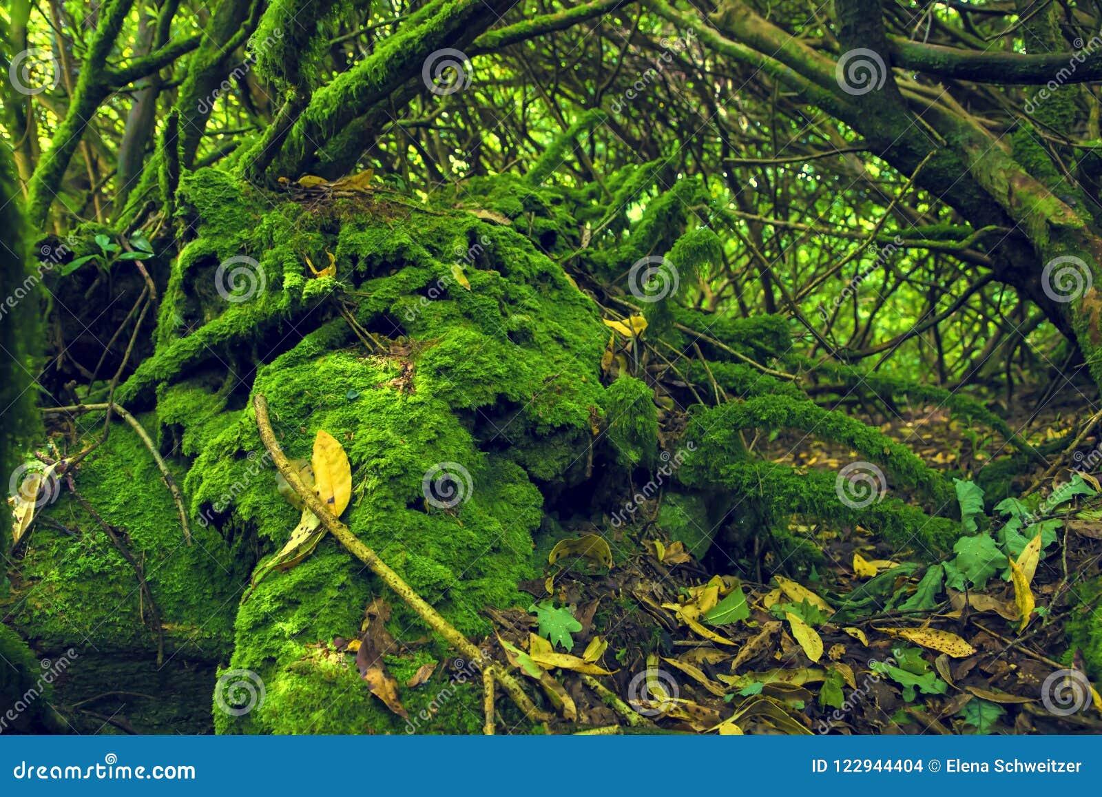 Madeira musgoso na Irlanda