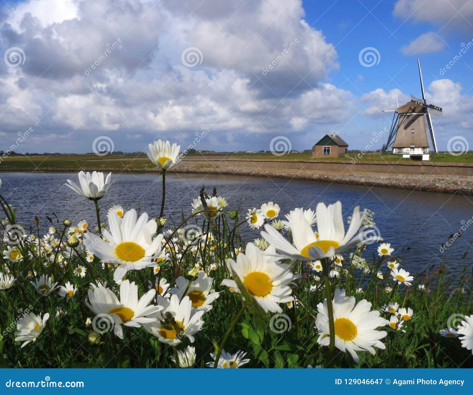 Madeliefjes op Texel  Η αγγλική Daisy σε Texel, Κάτω Χώρες