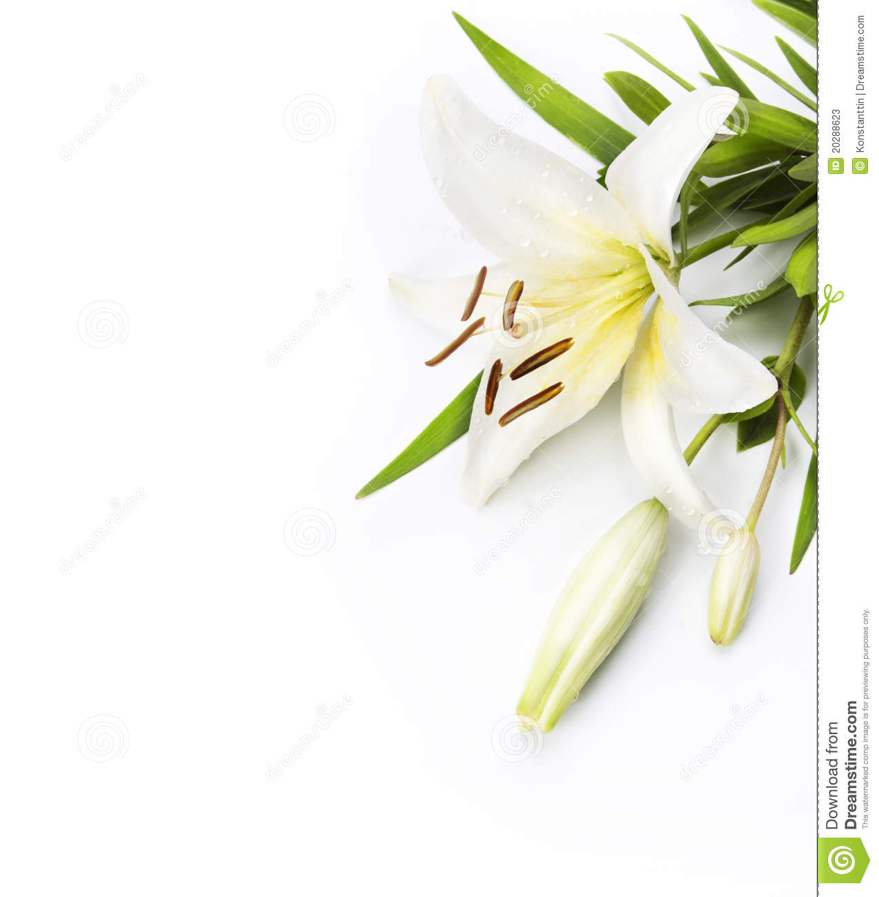 Madonna Lily Isolated On A White Background Stock Photos - Image ...