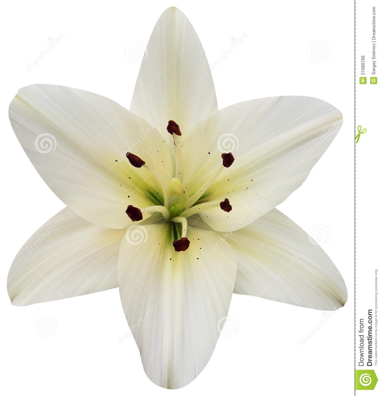 Madonna Lily On White Stock Vector Image Of Invitation 21989766
