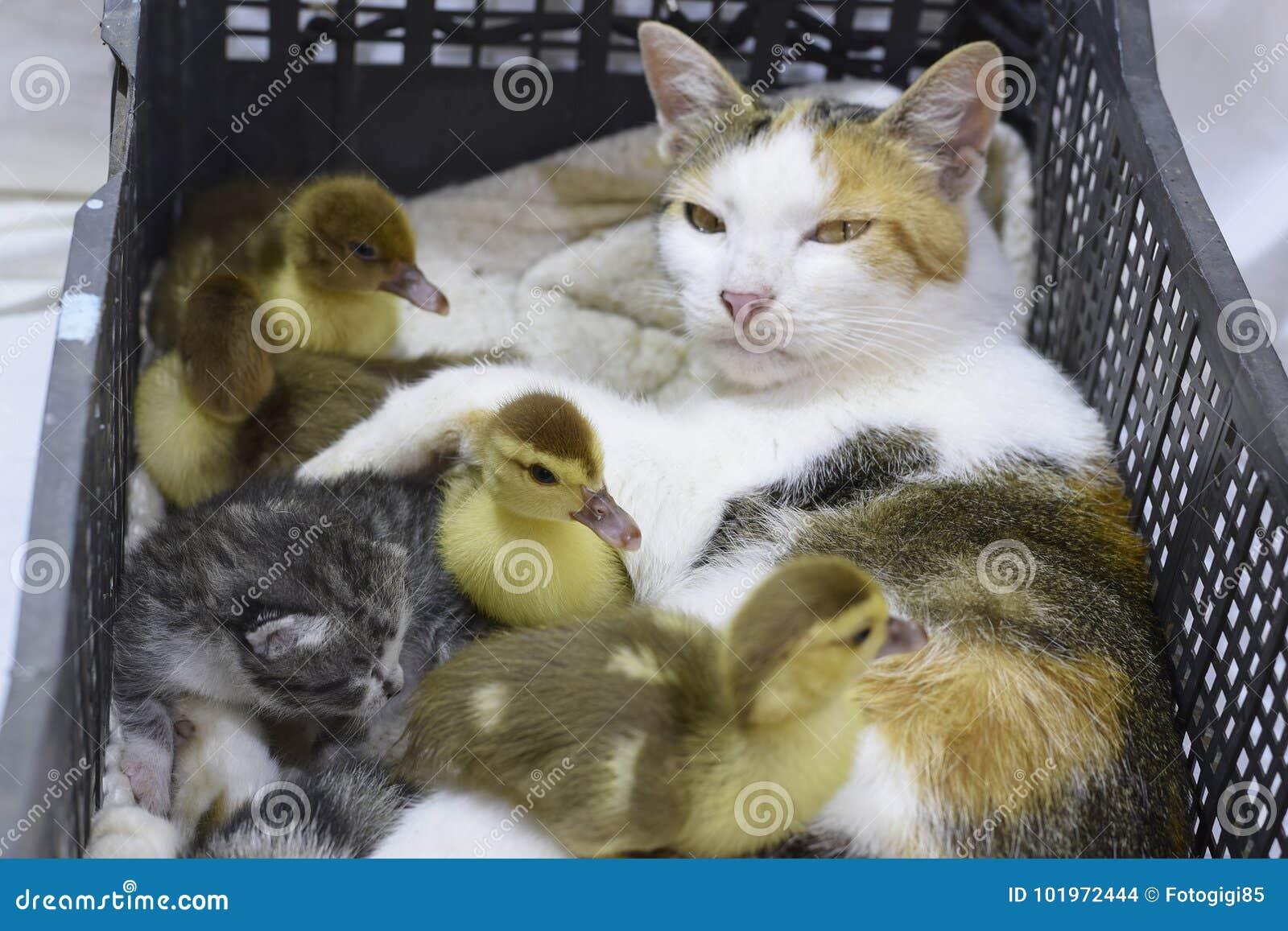 Madre adoptiva del gato para los anadones