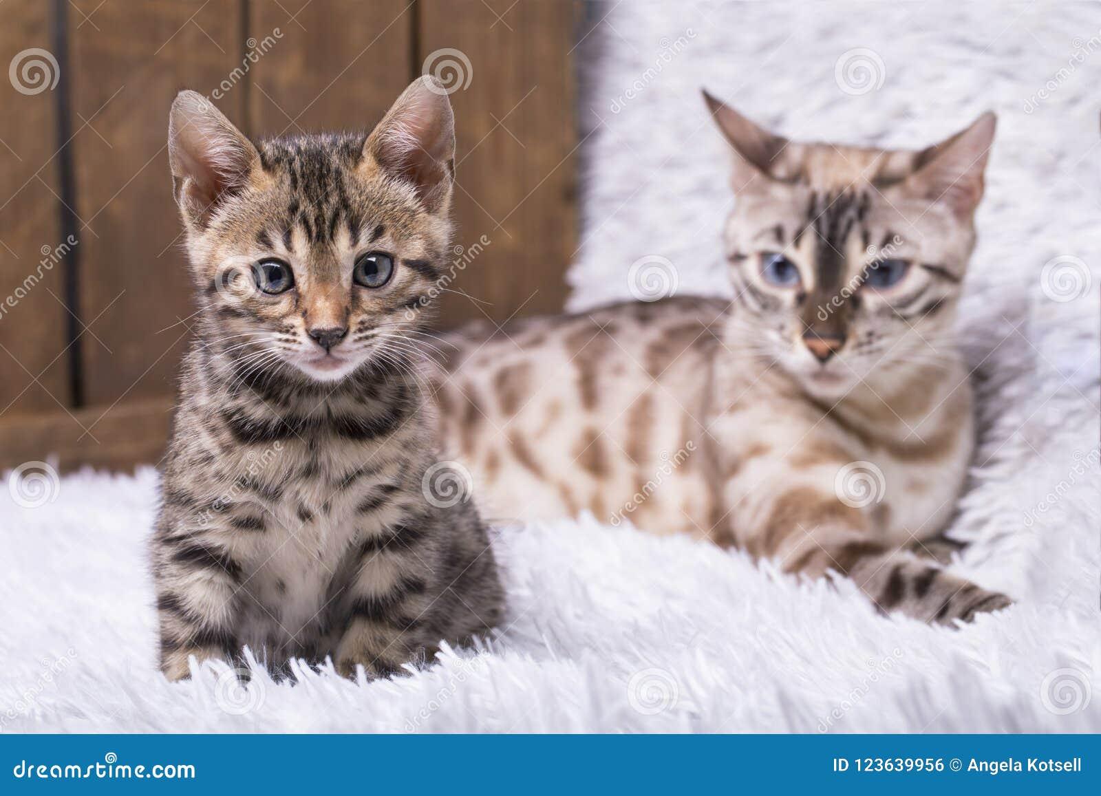 Madre del gato de Bengala de la nieve con su gatito viejo de nueve semanas