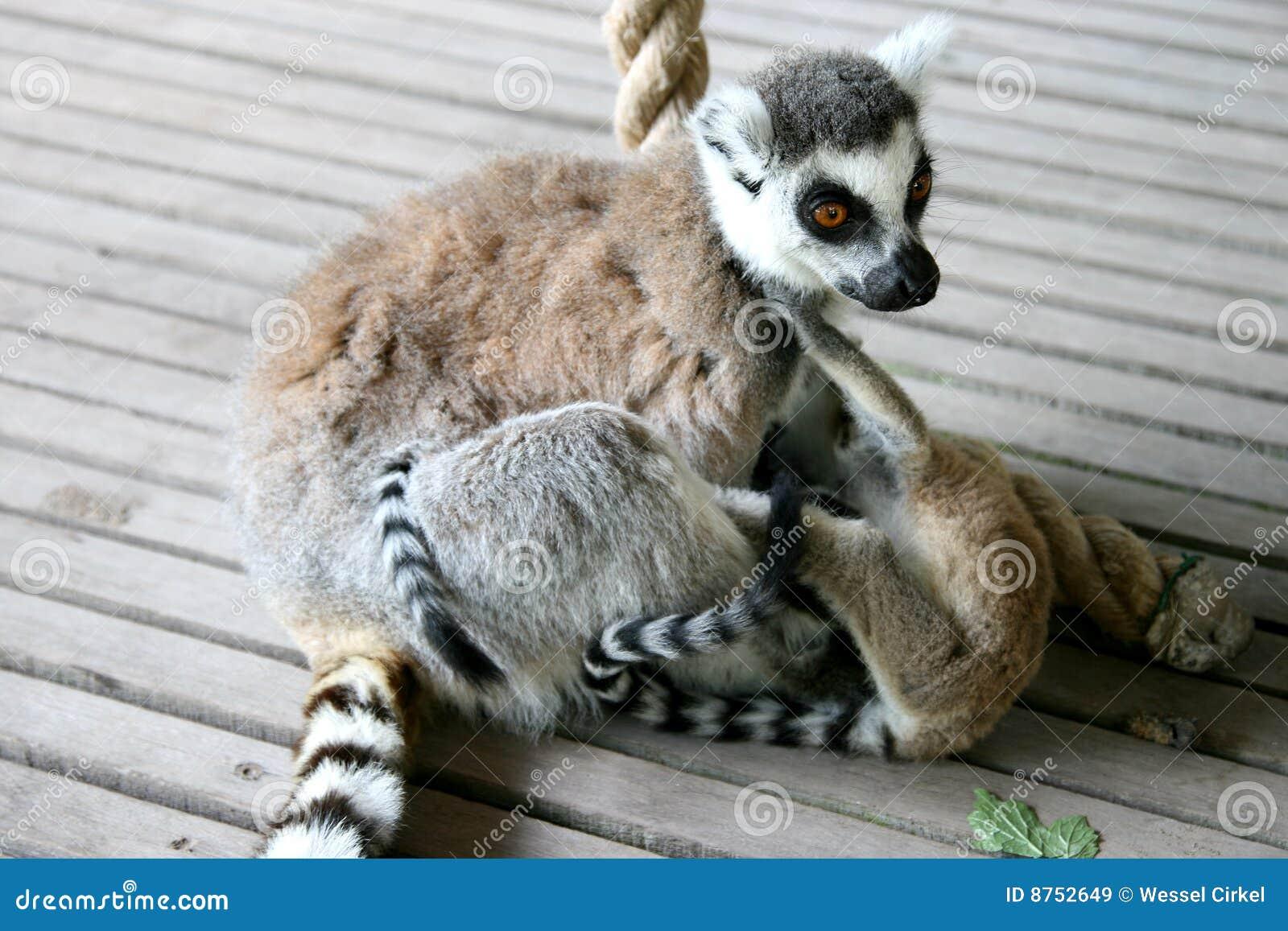 Madre del lemur che gioca i gemelli muniti anello