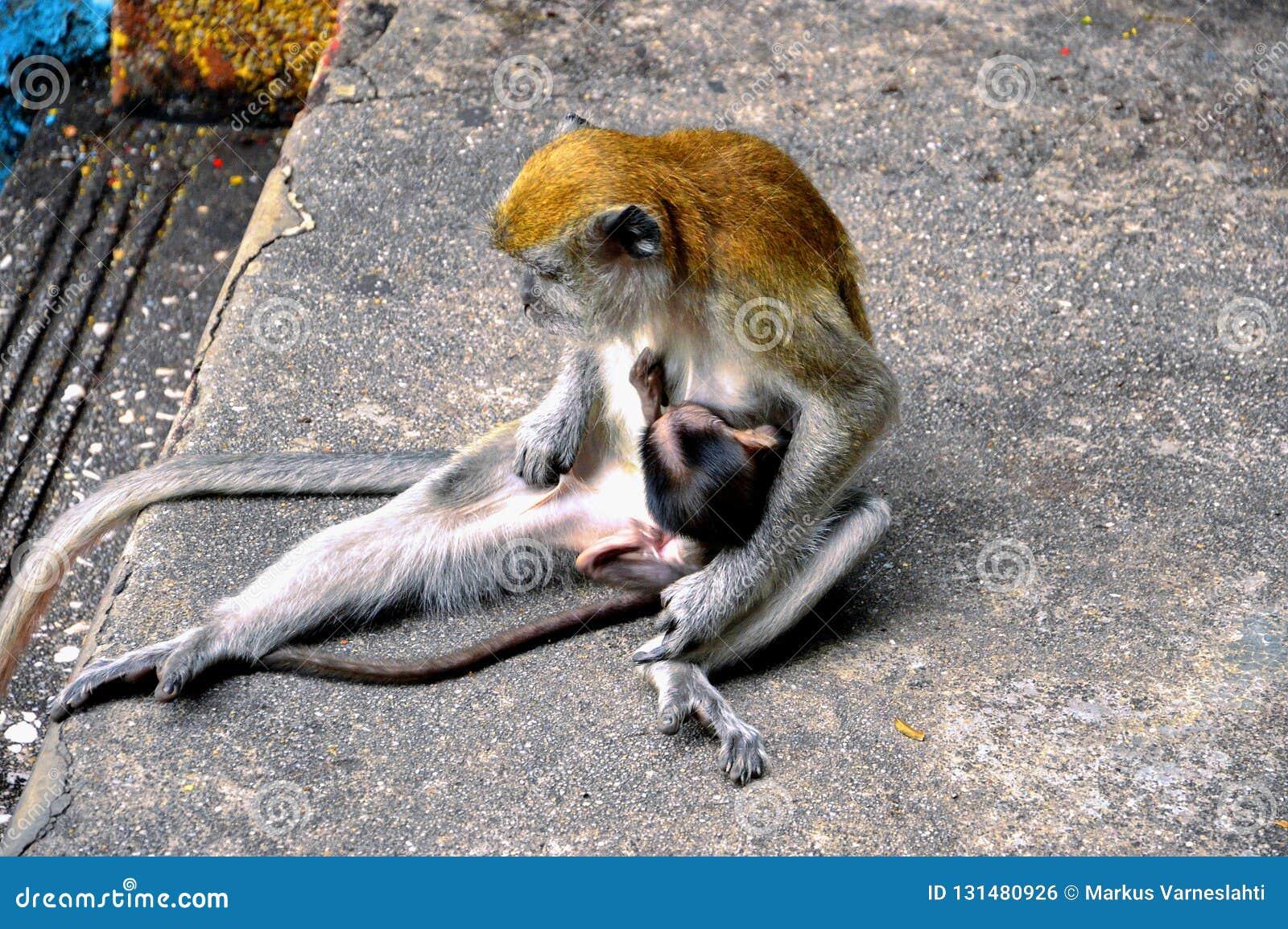 Madre della scimmia che allatta al seno il suo bambino in Malesia