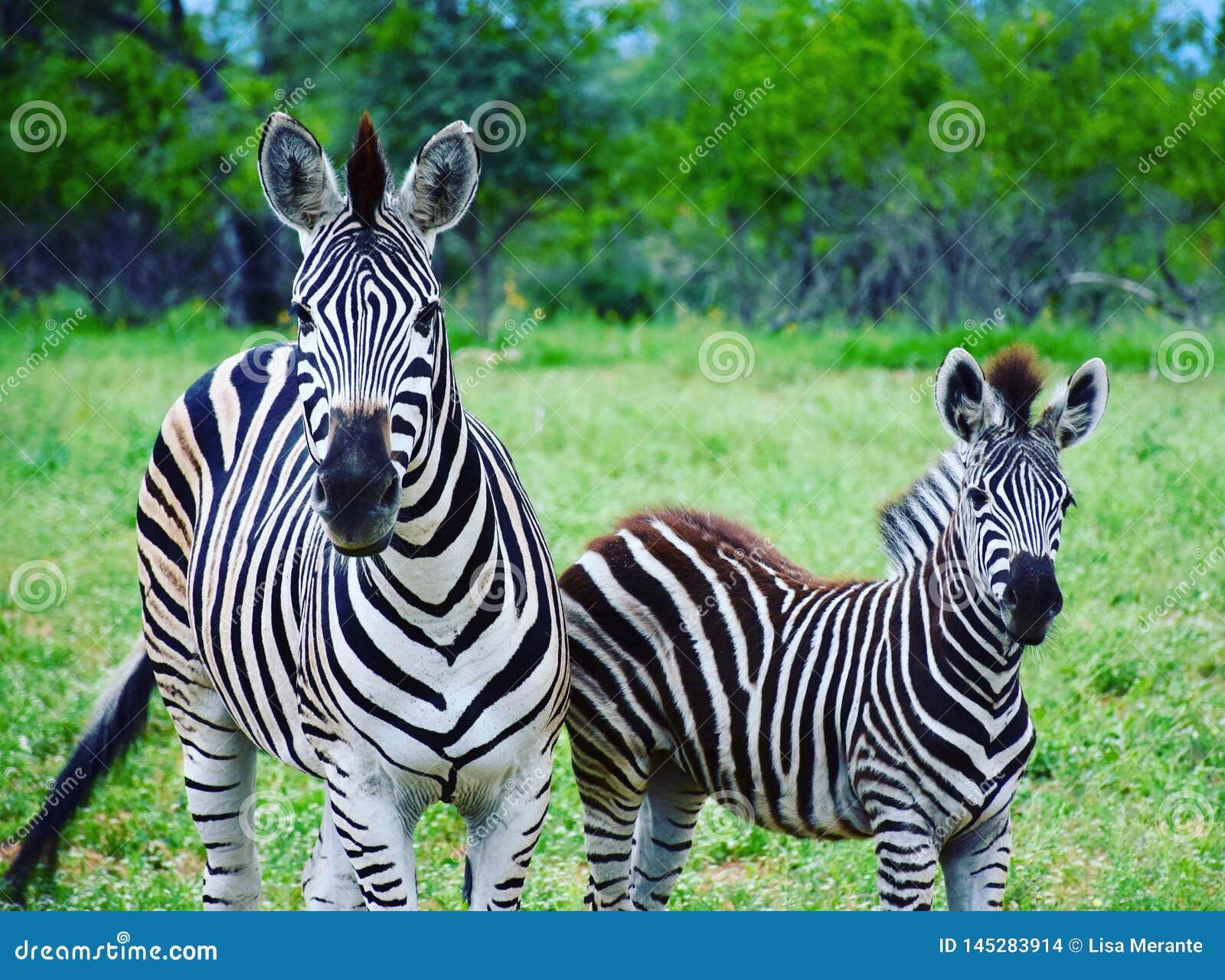 Madre e puledro della zebra nel parco nazionale di Kruger