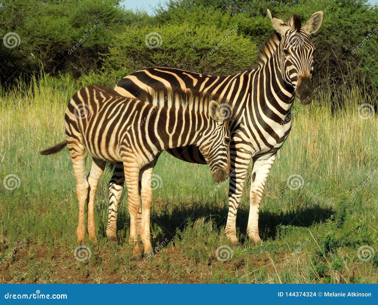 Madre e vitello della zebra nel parco nazionale di Kruger