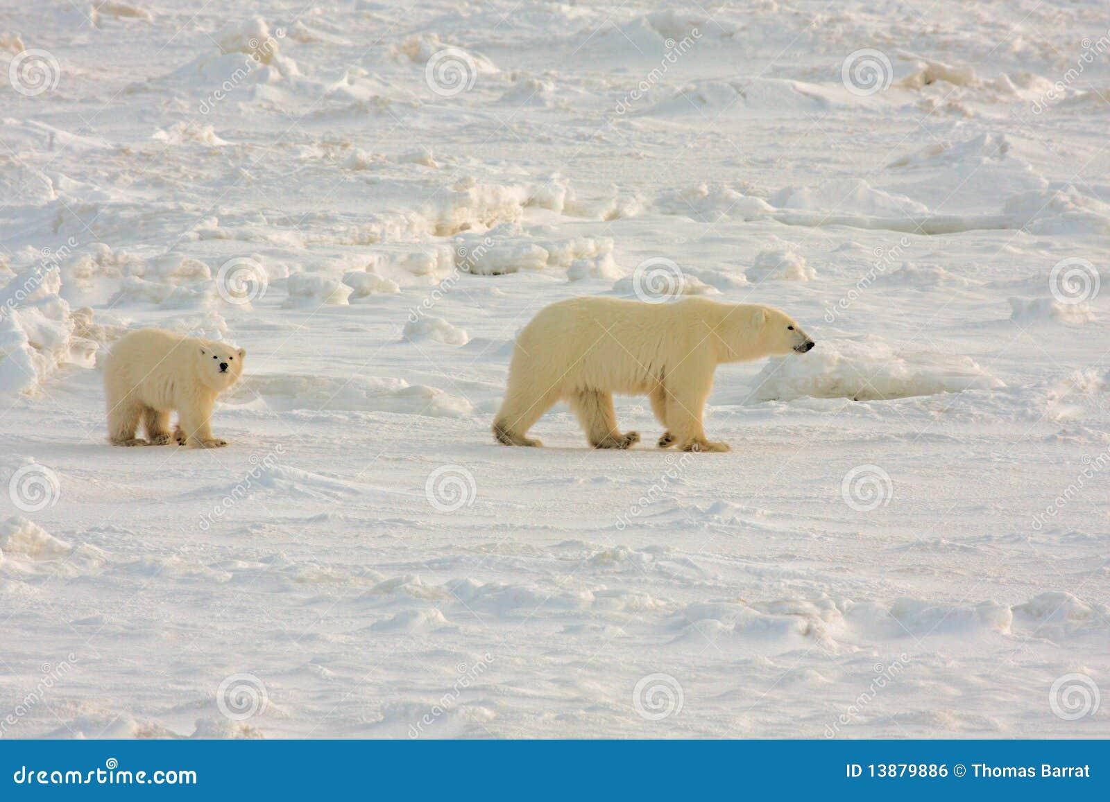 Madre sana y cachorro del oso polar