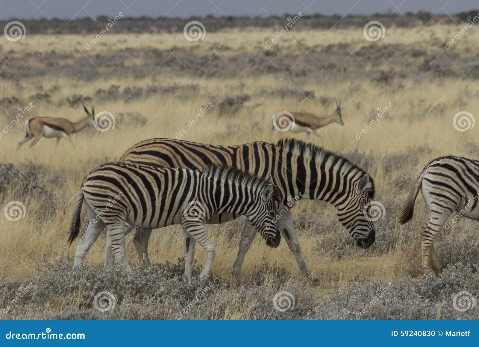 Madre y potro de la cebra de los llanos que pastan en el parque nacional de Etosha, Namibia
