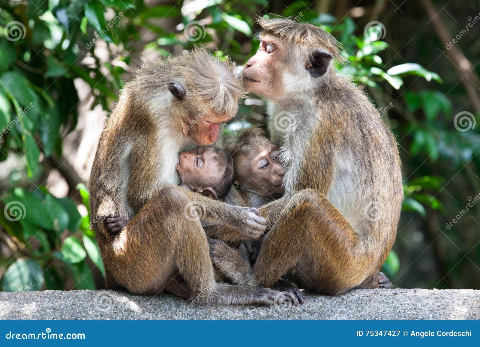 Madres con los monos de macaque de capo de los niños jovenes