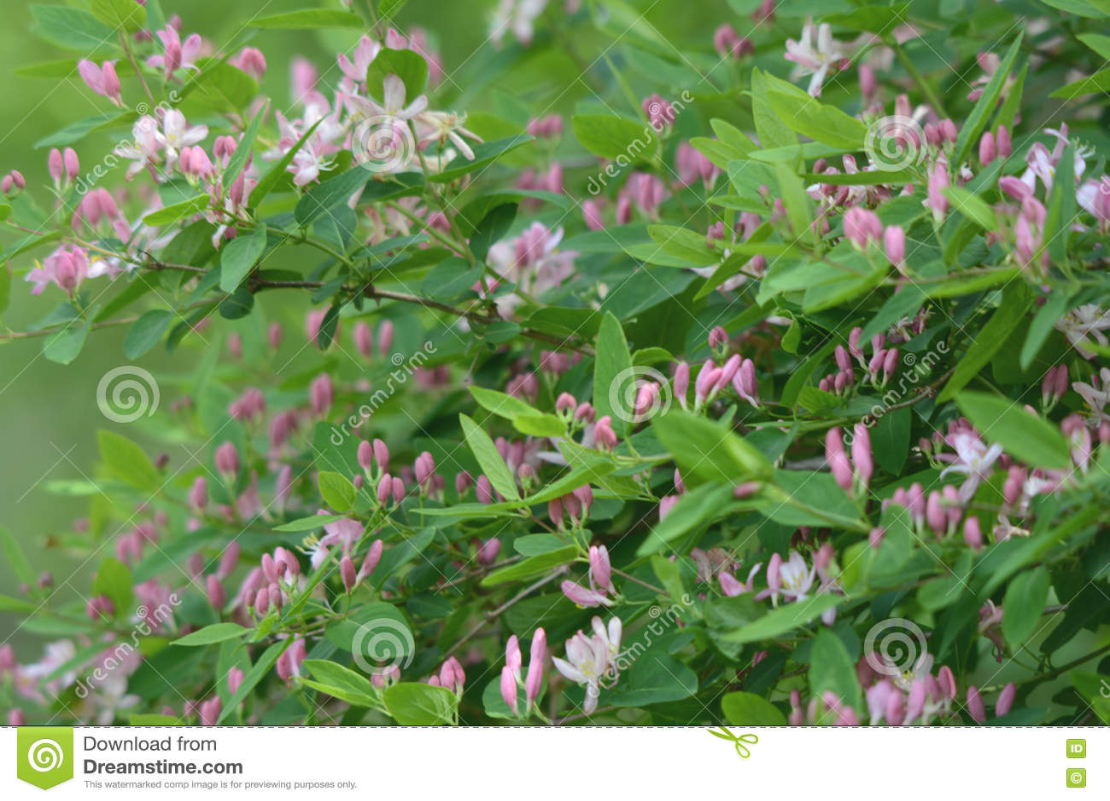 Madressilva de florescência da mola