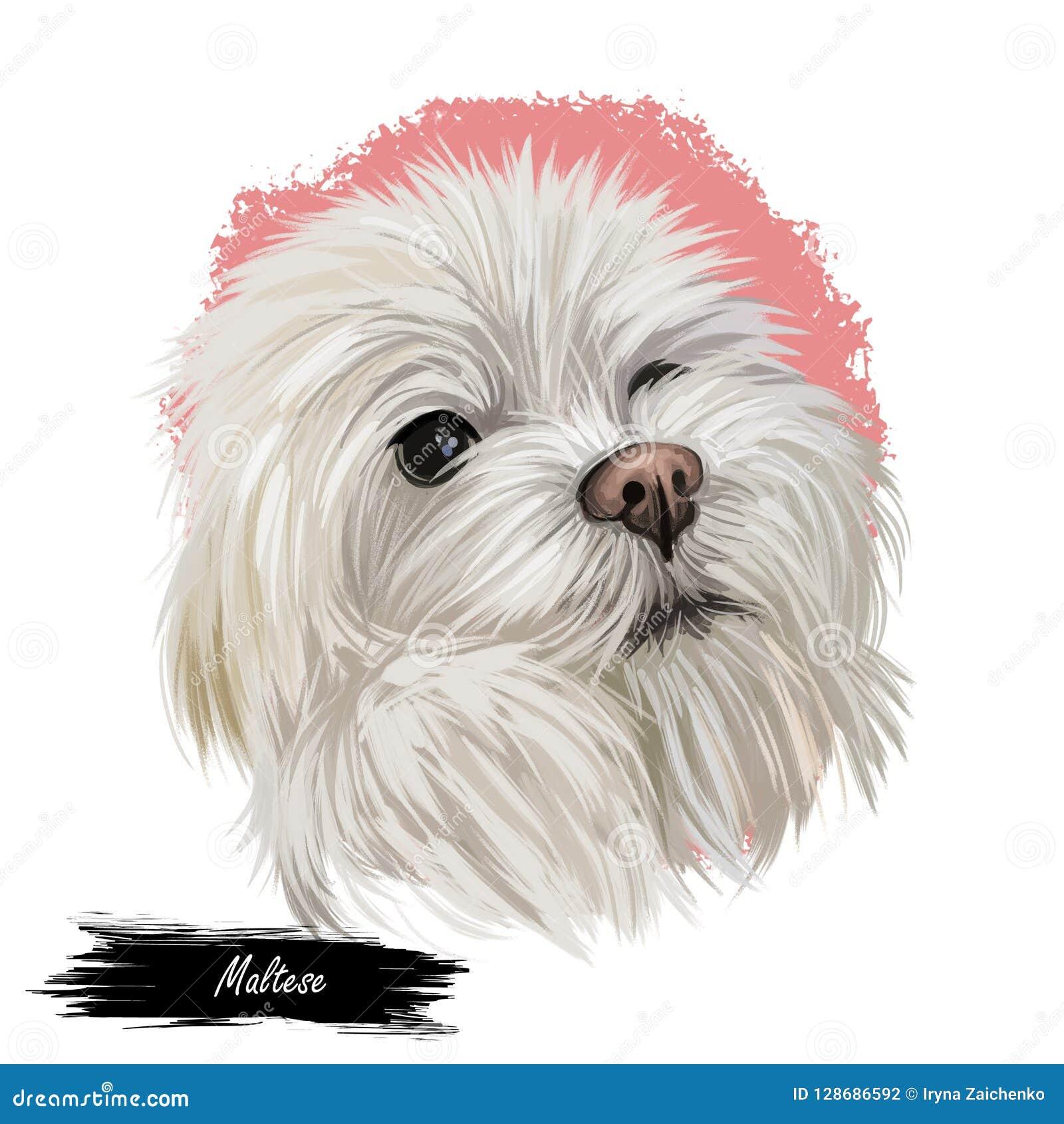 Maelitacus Maltese Di Canis Familiaris Illustrazione Digitale Di