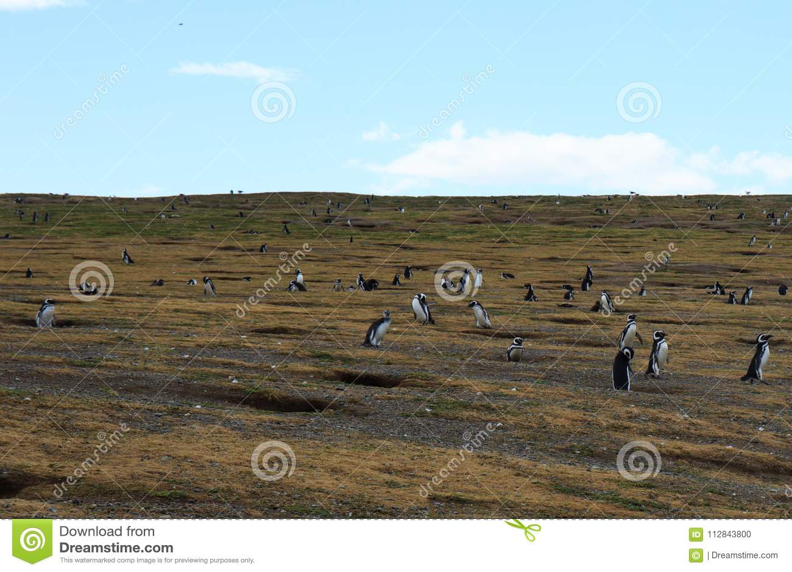 Magellanic Isla的马格达莱纳蓬塔阿雷纳斯企鹅殖民地