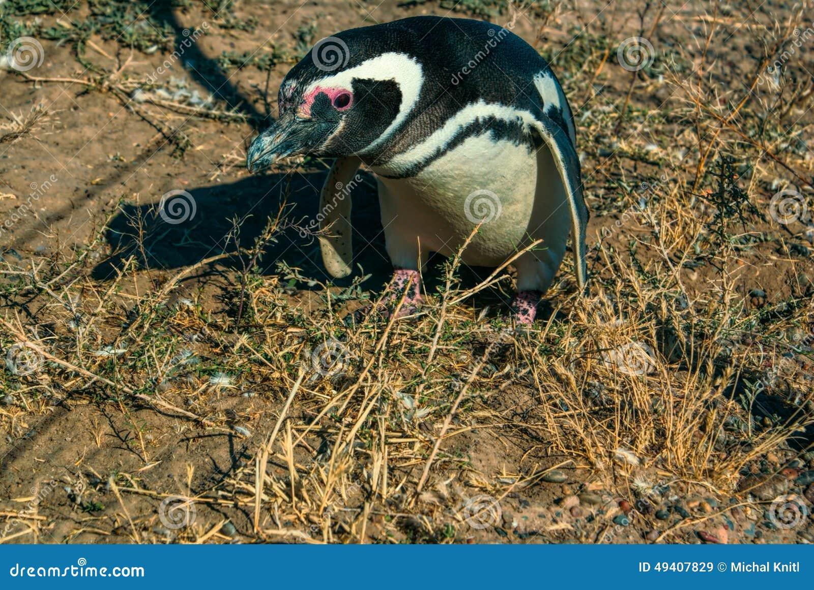 Download Magellanic Pinguin stockbild. Bild von tier, wild, süd - 49407829
