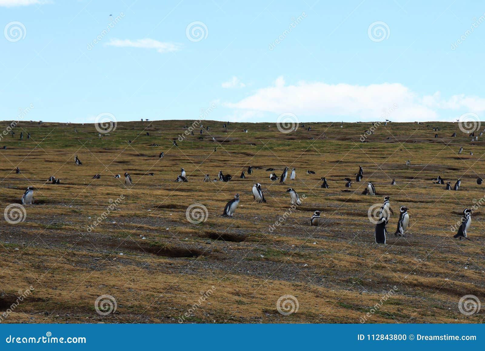 Magellanic pingwinu kolonie na Isla Magdalena Punta Arenas