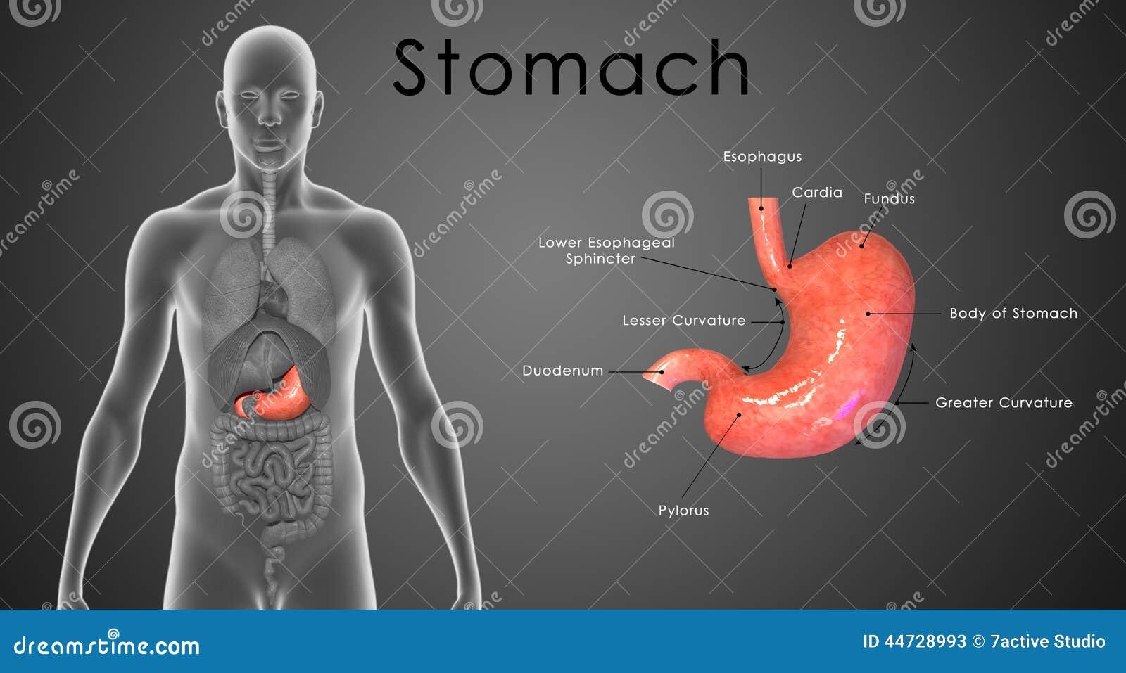 Magen beschriftet stock abbildung. Illustration von biologie - 44728993